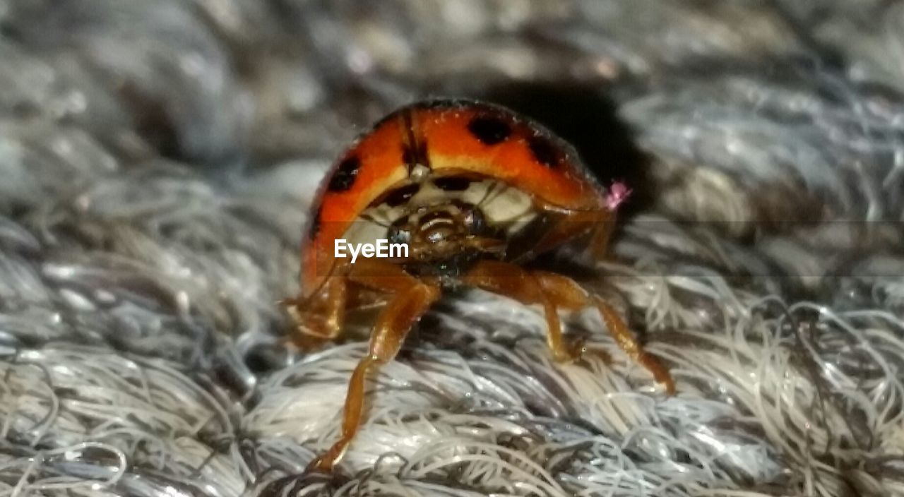 animal themes, one animal, animals in the wild, close-up, animal wildlife, insect, no people, day, nature, outdoors, ladybug