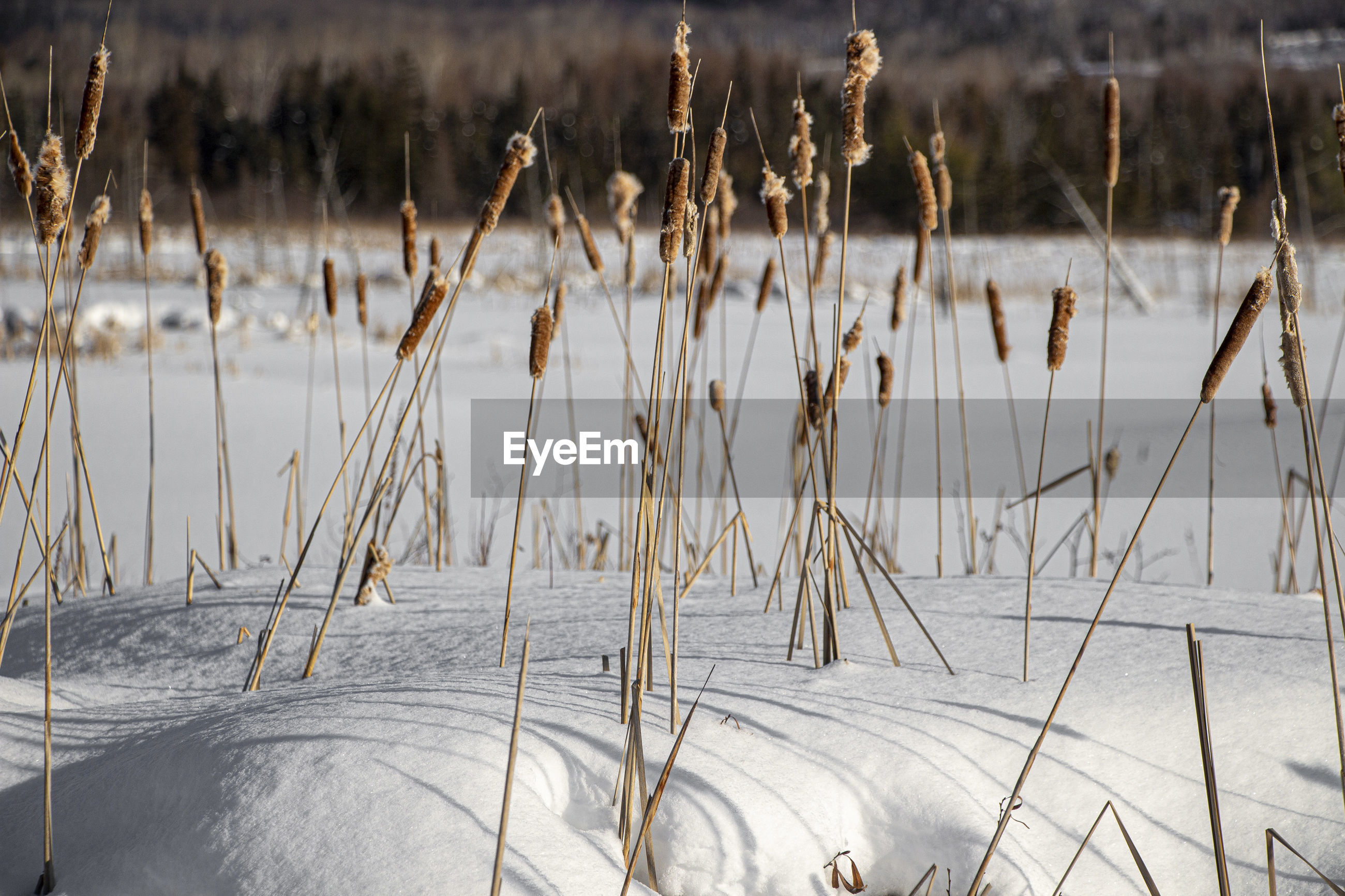 Close-up of dry plants in lake during winter