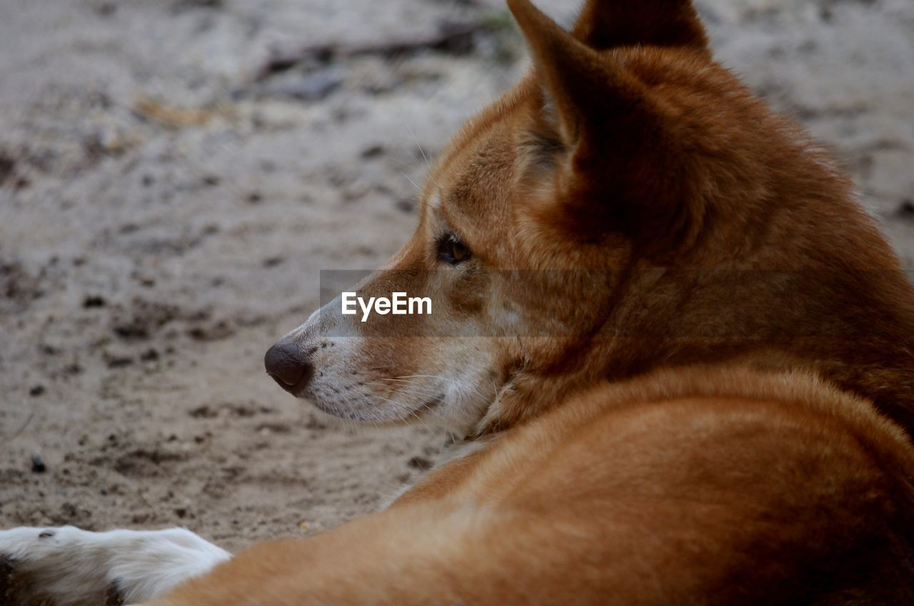Close-up of a australia dingo looking away