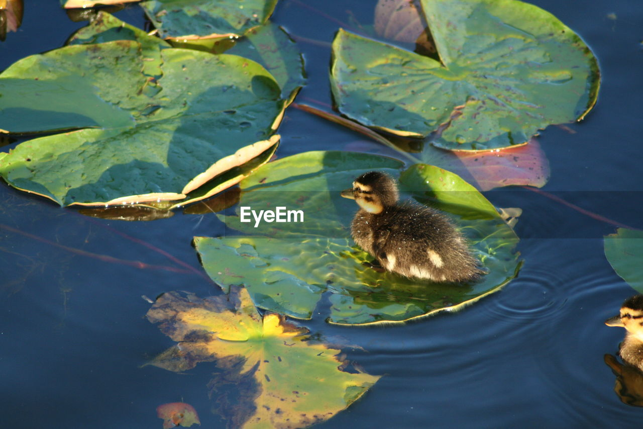 plant part, leaf, water, lake, animal, animal wildlife, animals in the wild, animal themes, green color, vertebrate, nature, young animal, high angle view, no people, day, young bird, plant, swimming, floating on water, outdoors, leaves, animal family
