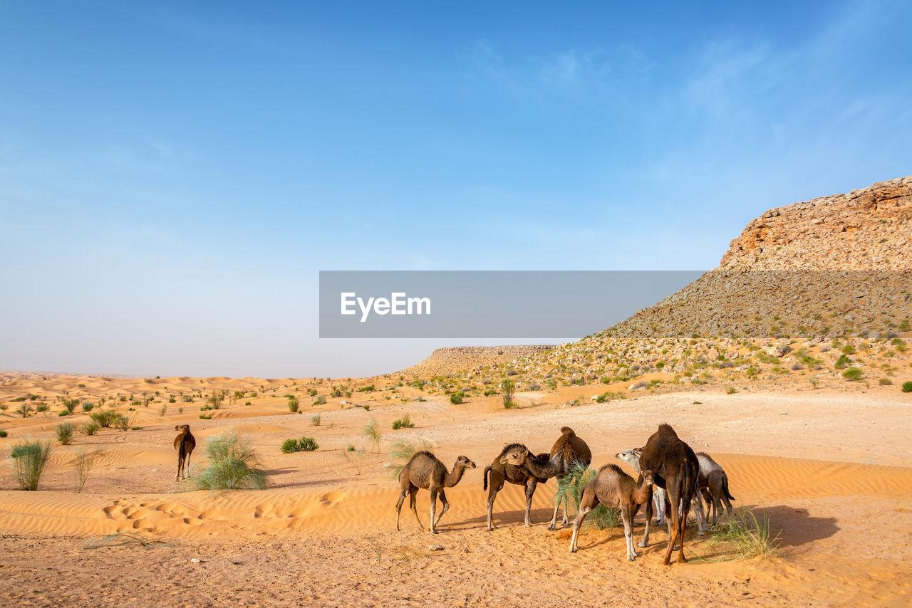 Camels on desert
