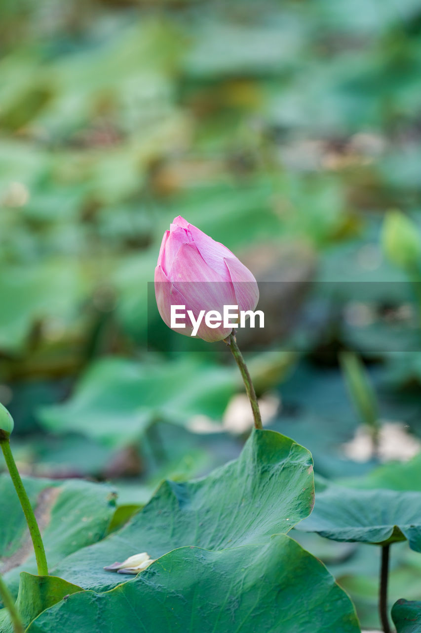 CLOSE-UP OF PINK WATER LILY ON PLANT