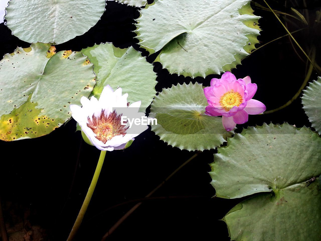 flower, beauty in nature, leaf, freshness, fragility, growth, nature, petal, flower head, plant, water lily, floating on water, no people, lotus water lily, close-up, outdoors, lily pad, high angle view, day, water, blooming