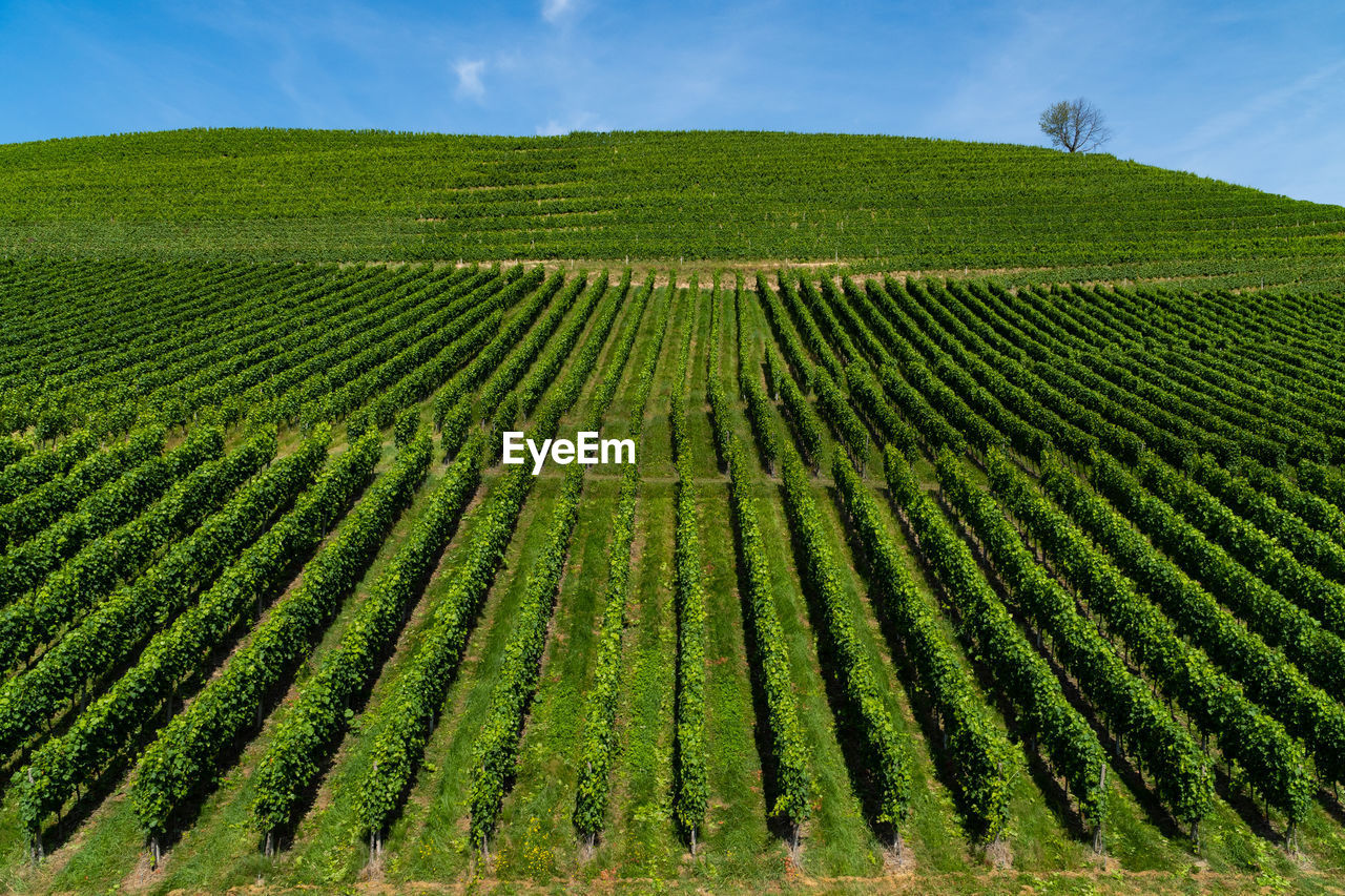 field, growth, landscape, land, plant, beauty in nature, agriculture, green color, tranquil scene, tranquility, rural scene, scenics - nature, environment, farm, sky, nature, crop, vineyard, no people, day, plantation, outdoors, winemaking