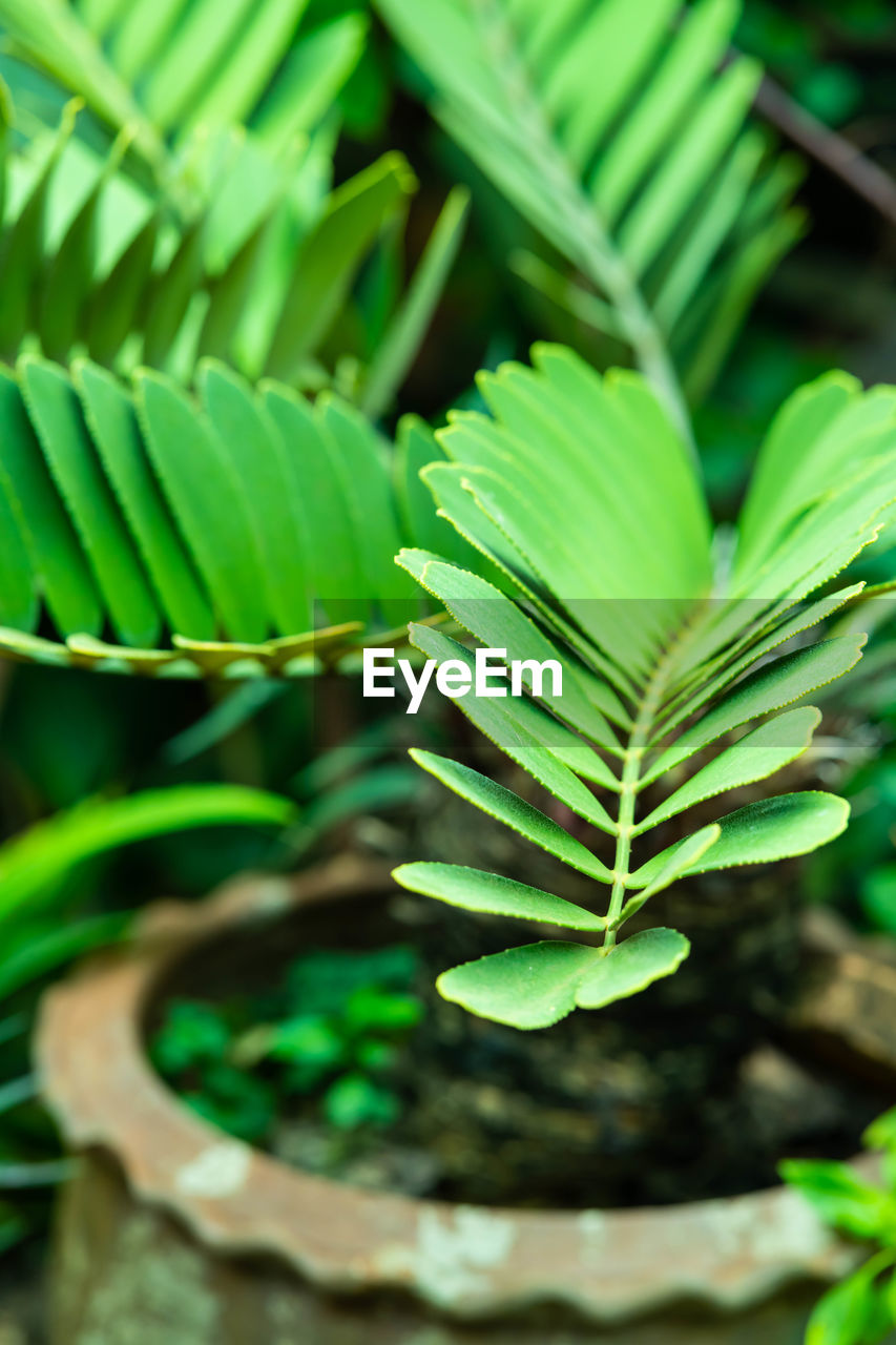 green color, growth, plant, leaf, plant part, close-up, beauty in nature, nature, day, no people, freshness, selective focus, focus on foreground, outdoors, potted plant, vulnerability, botany, high angle view, beginnings, fragility, leaves, plantation, houseplant
