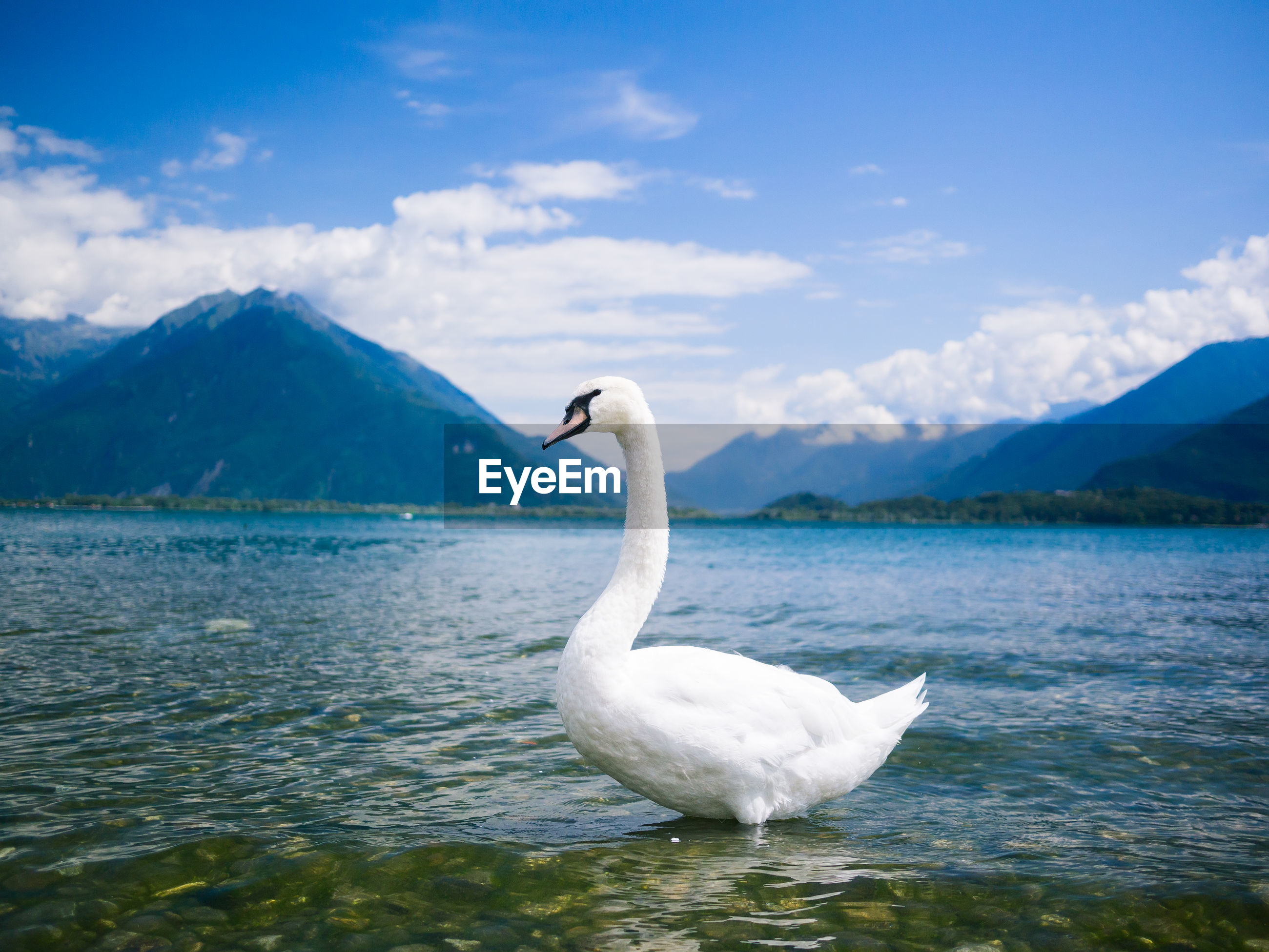 Mute swan in lake by mountains against sky