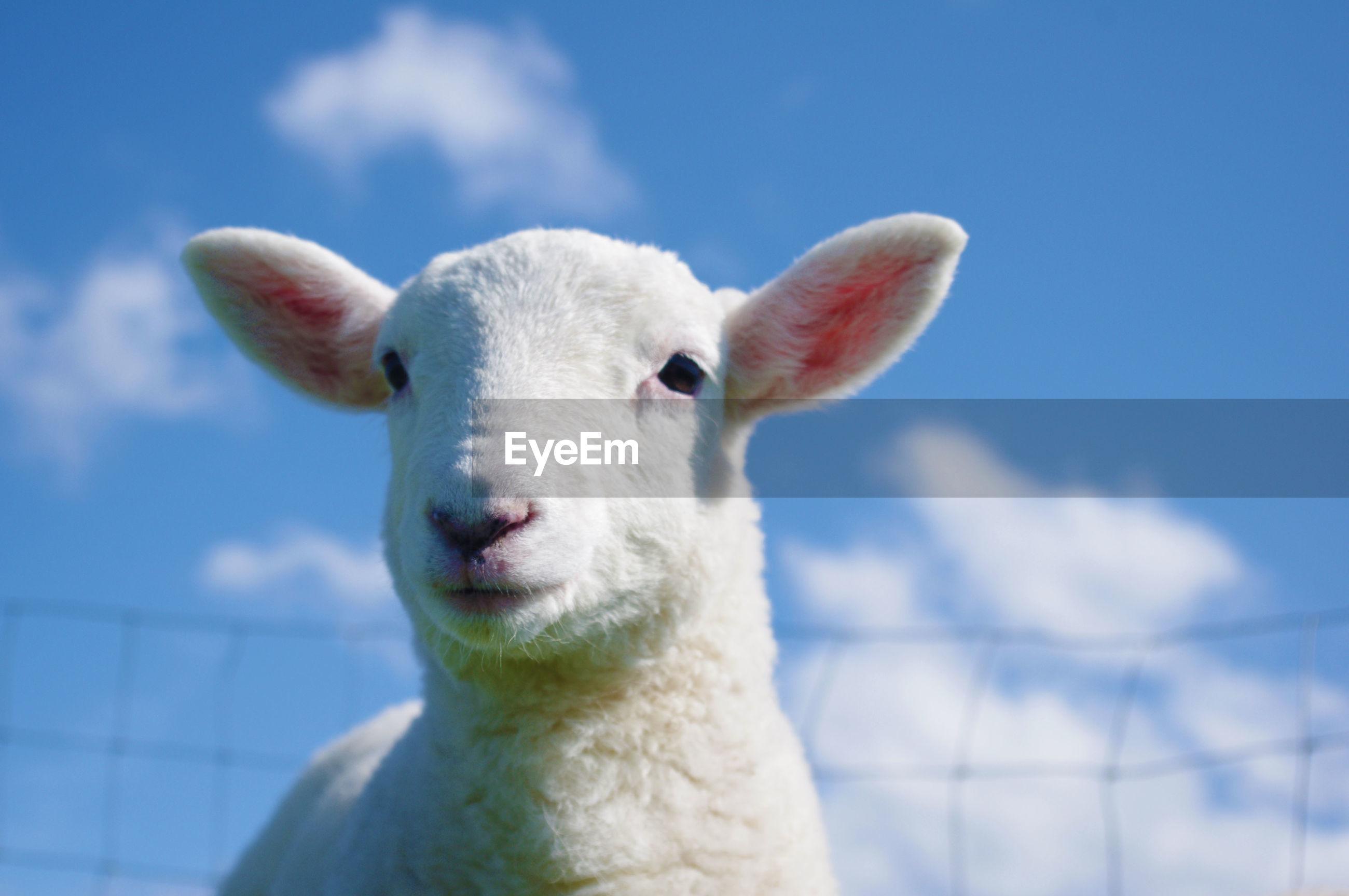 Close-up portrait of lamb against sky