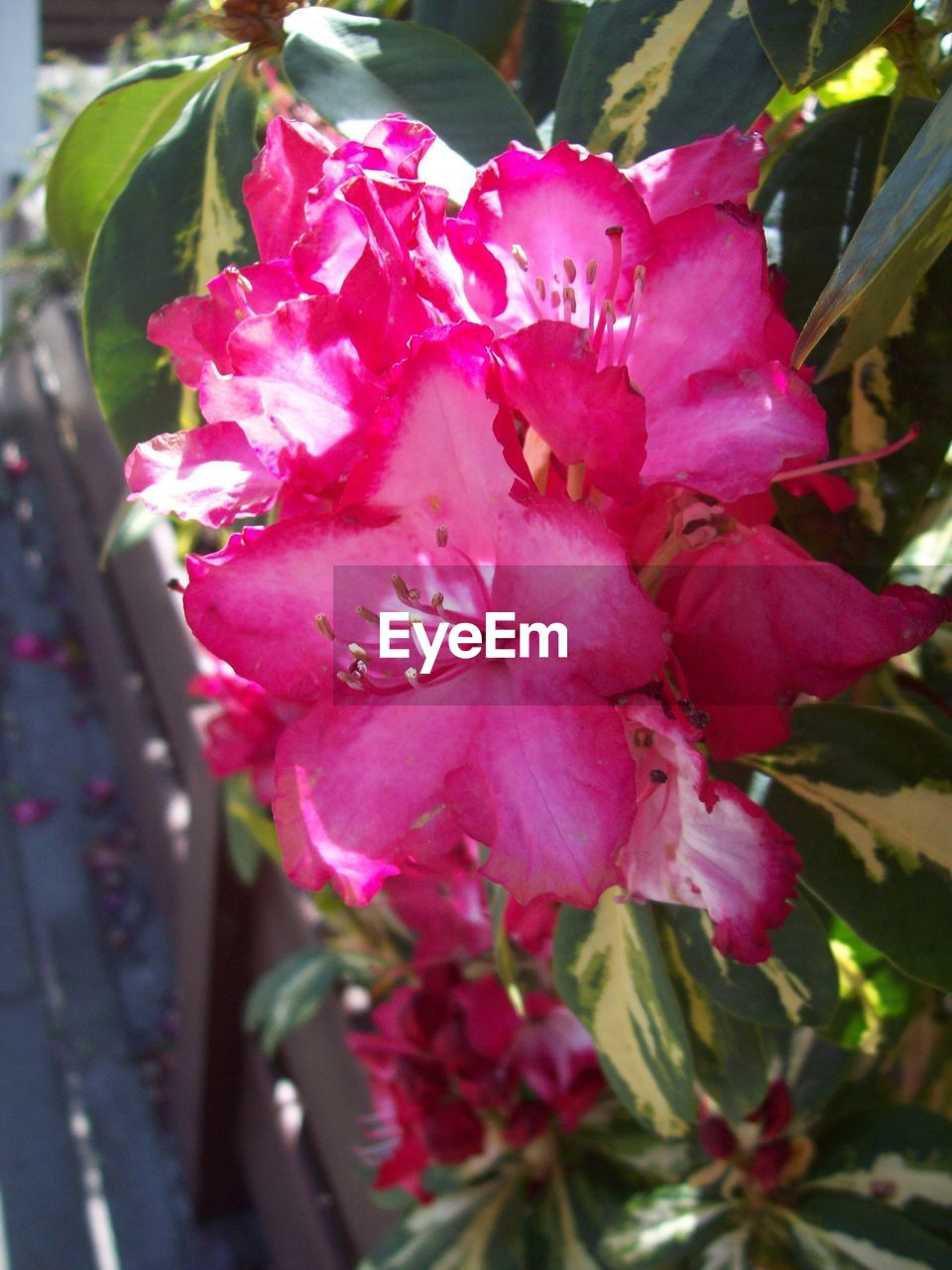 flower, growth, beauty in nature, petal, pink color, fragility, nature, no people, freshness, blossom, plant, day, stamen, flower head, close-up, outdoors, springtime, bougainvillea, blooming, tree