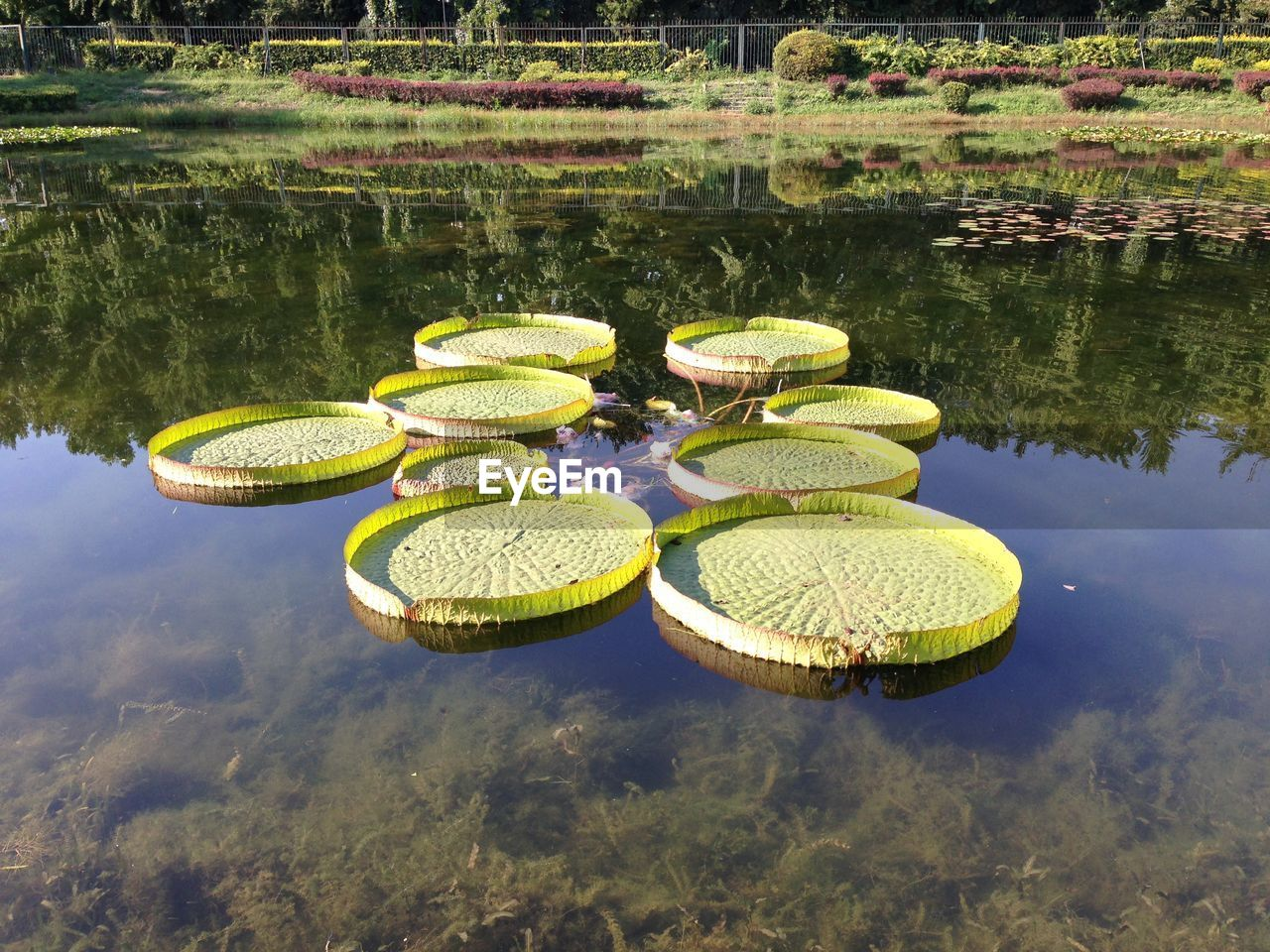 water, reflection, lake, waterfront, nature, floating, plant, green color, floating on water, beauty in nature, day, no people, water lily, tranquility, growth, outdoors, tranquil scene, leaf, lotus water lily, purity