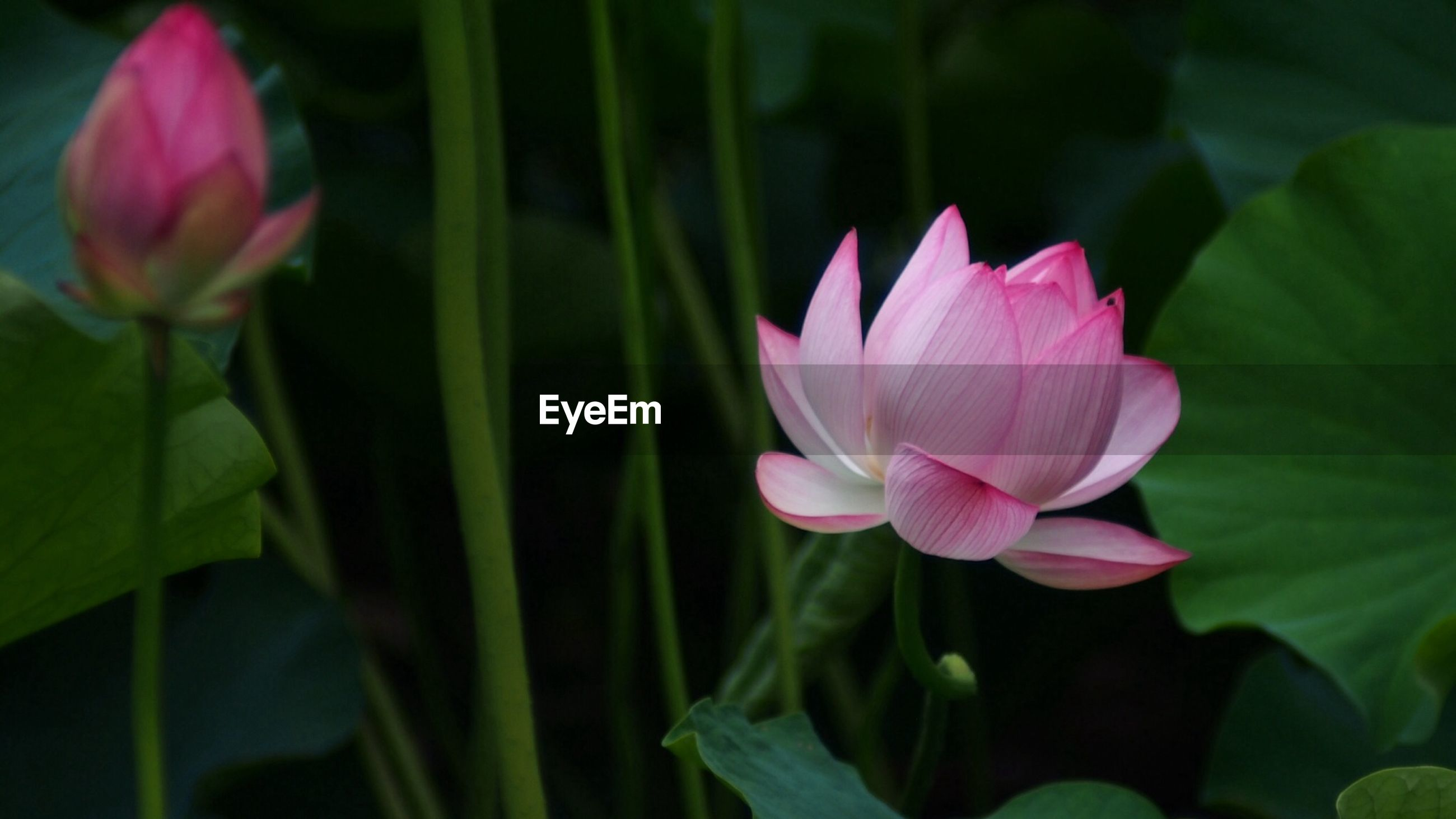 flower, petal, freshness, fragility, flower head, growth, beauty in nature, pink color, blooming, plant, nature, close-up, leaf, focus on foreground, stem, in bloom, single flower, green color, selective focus, field