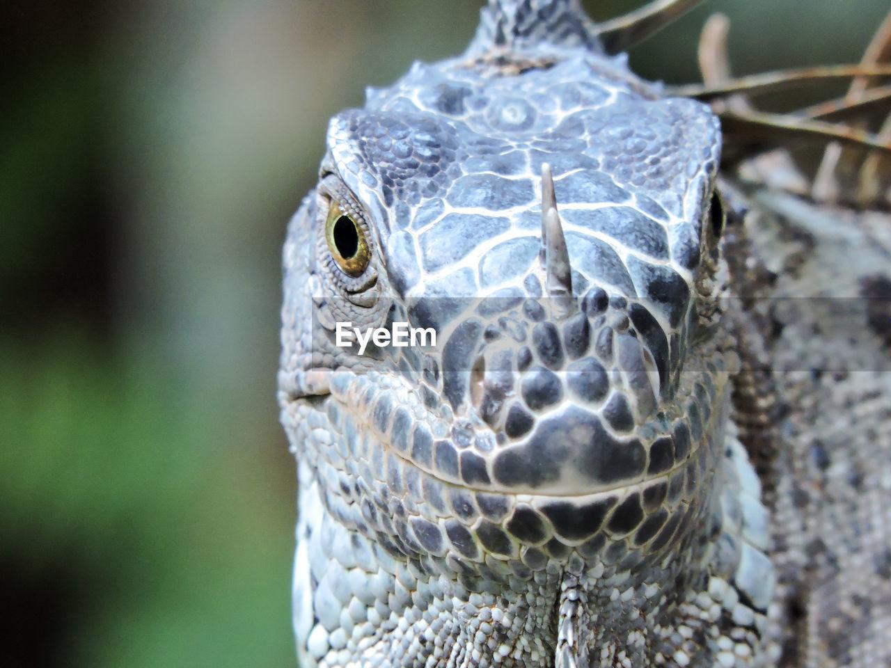 Close-up portrait of iguana