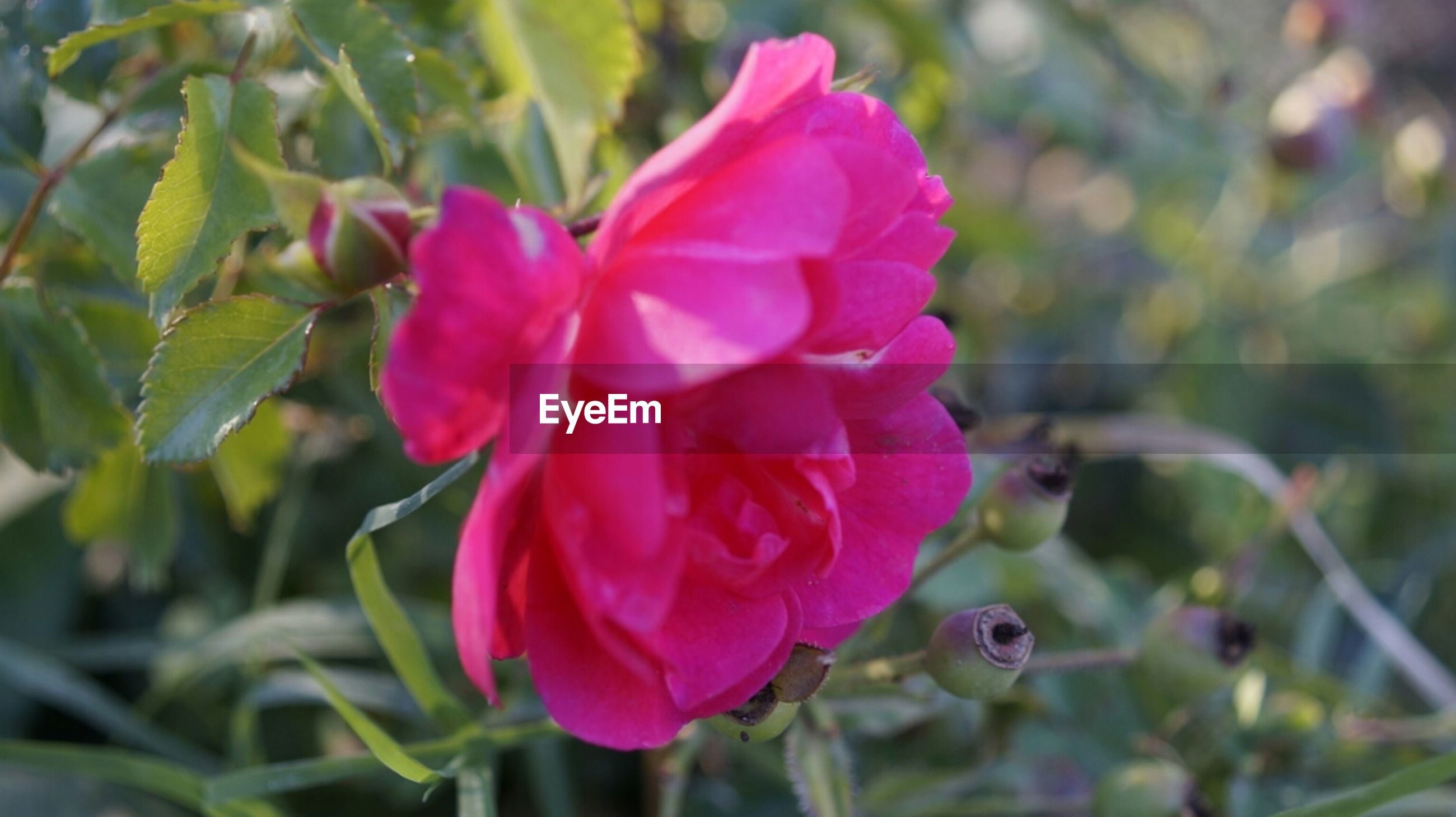 flower, freshness, petal, fragility, pink color, growth, close-up, focus on foreground, beauty in nature, flower head, plant, nature, blooming, leaf, rose - flower, bud, in bloom, pink, day, outdoors