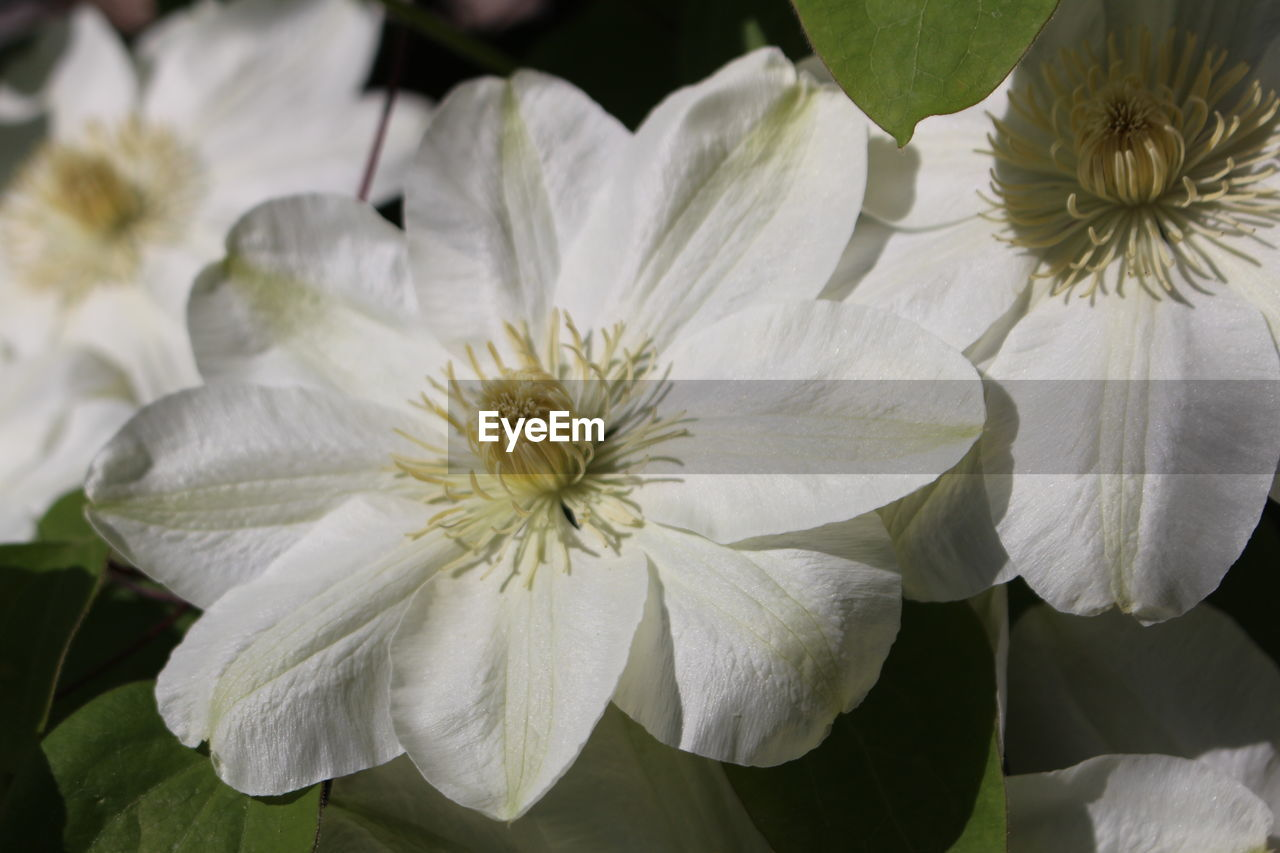 flowering plant, flower, petal, plant, fragility, vulnerability, beauty in nature, freshness, flower head, inflorescence, growth, close-up, white color, no people, pollen, nature, focus on foreground, day, high angle view, outdoors