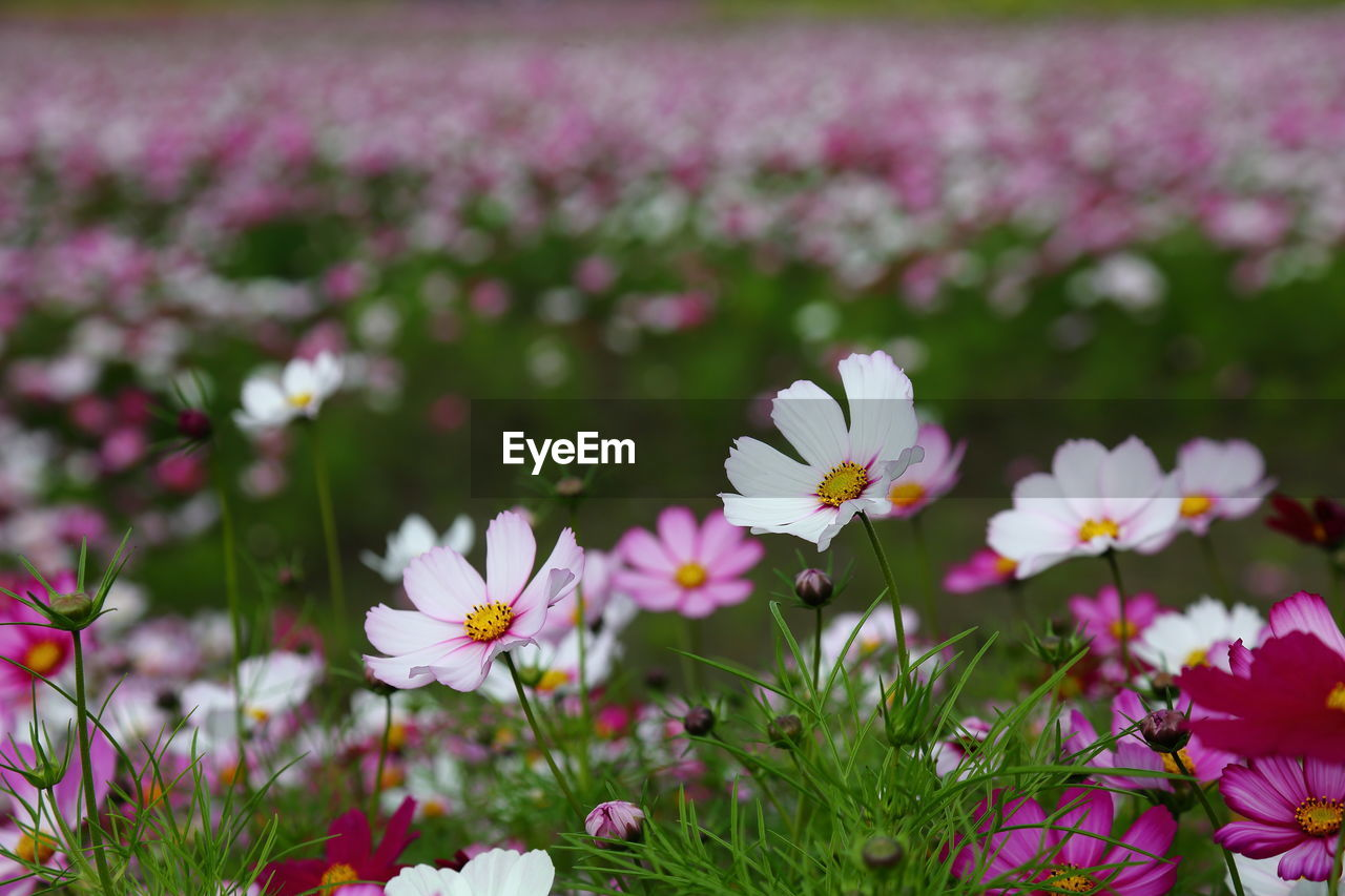 flower, nature, fragility, petal, beauty in nature, freshness, growth, plant, flower head, blooming, no people, field, springtime, day, cosmos flower, outdoors, close-up, osteospermum, crocus