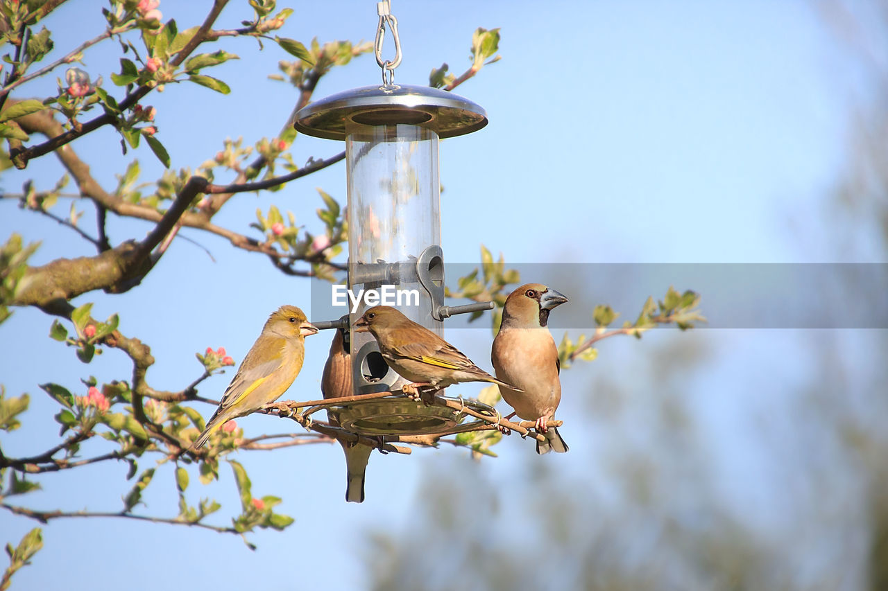 bird, animal, animal themes, vertebrate, group of animals, tree, animal wildlife, animals in the wild, low angle view, plant, sky, nature, two animals, perching, day, no people, branch, focus on foreground, outdoors, bird feeder