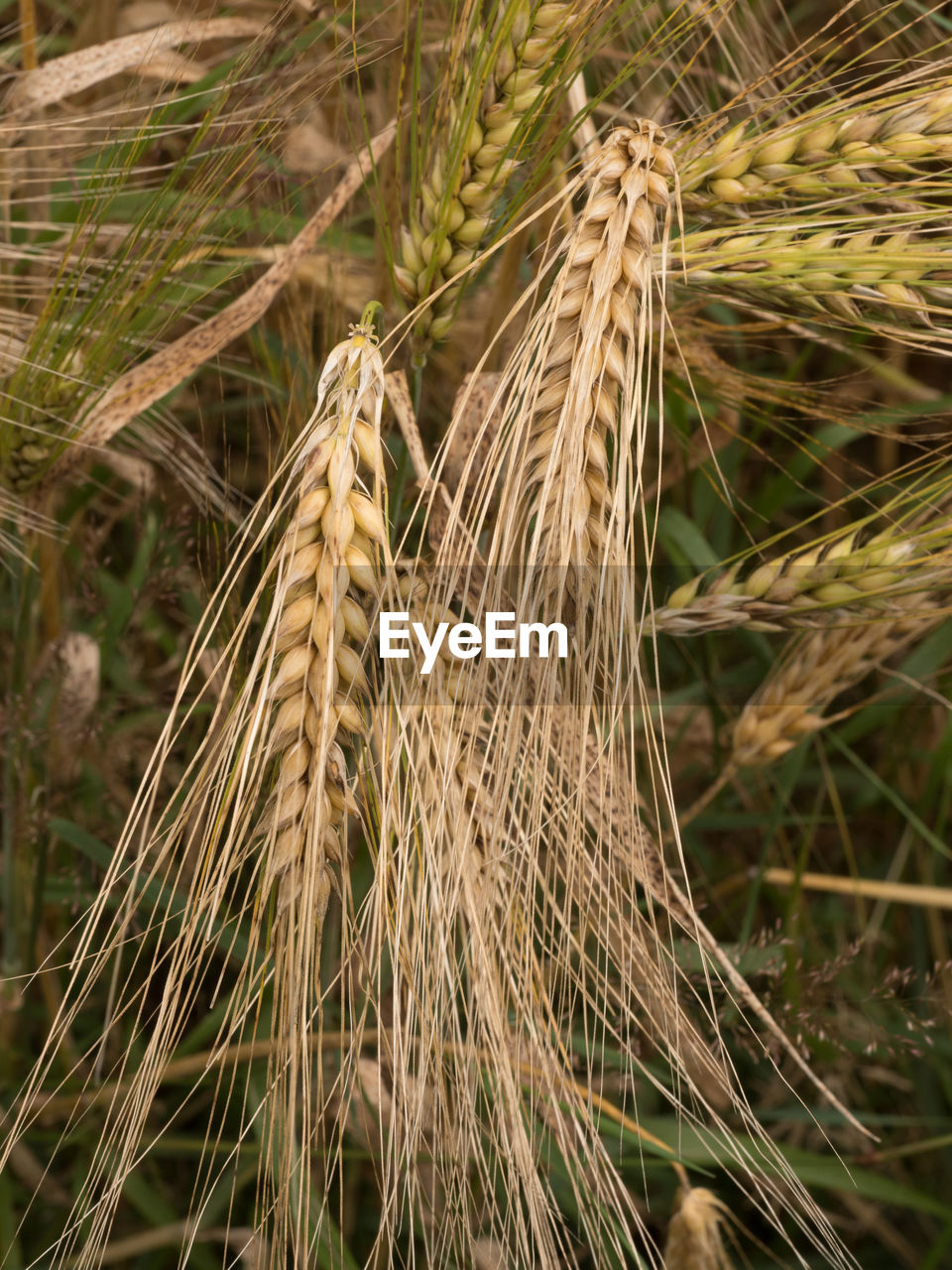 cereal plant, growth, wheat, nature, plant, day, agriculture, crop, outdoors, no people, ear of wheat, field, focus on foreground, rye - grain, close-up, rural scene, beauty in nature