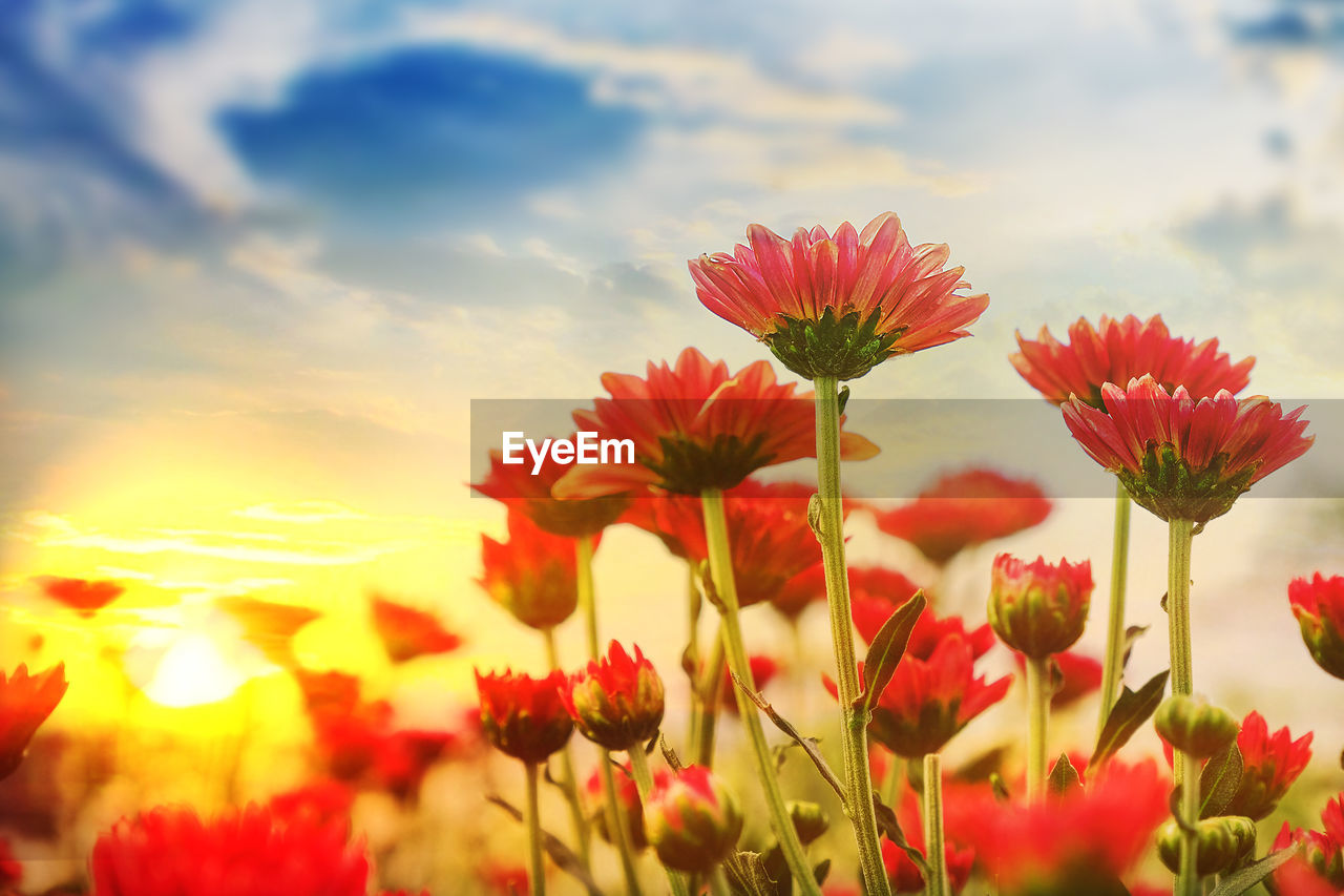 flower, flowering plant, beauty in nature, plant, fragility, freshness, vulnerability, growth, red, close-up, nature, petal, sky, inflorescence, flower head, land, no people, cloud - sky, field, selective focus, outdoors, poppy