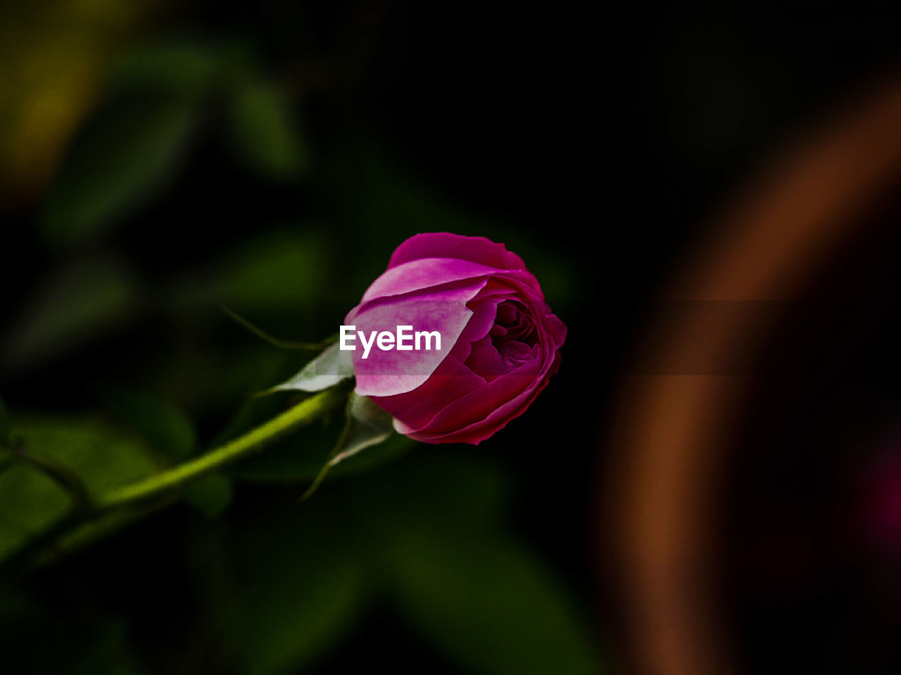 flower, petal, fragility, nature, beauty in nature, flower head, freshness, rose - flower, growth, blooming, plant, no people, close-up, leaf, pink color, outdoors, day