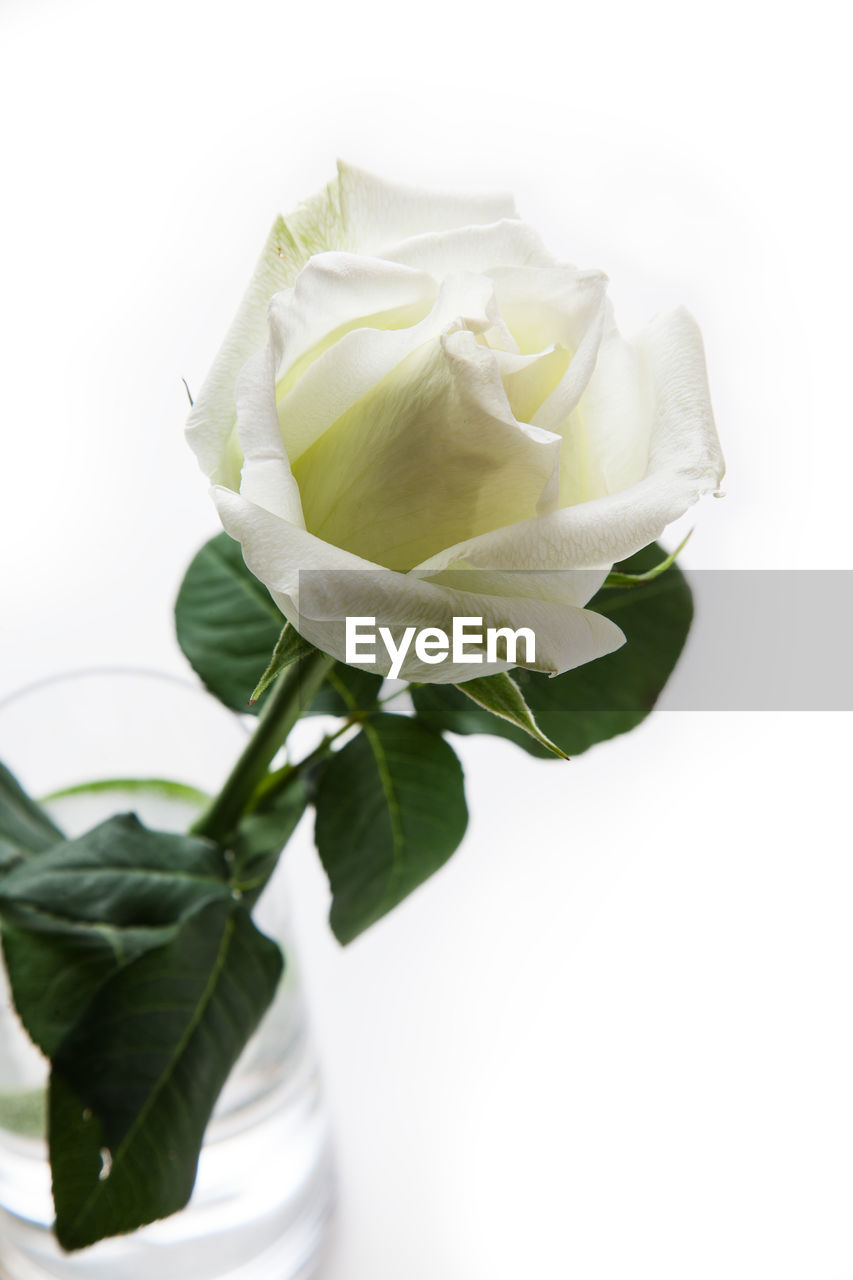 flower, flowering plant, plant, freshness, petal, rose, beauty in nature, white background, studio shot, rose - flower, vulnerability, leaf, flower head, fragility, inflorescence, close-up, nature, plant part, indoors, copy space, no people, flower arrangement, sepal