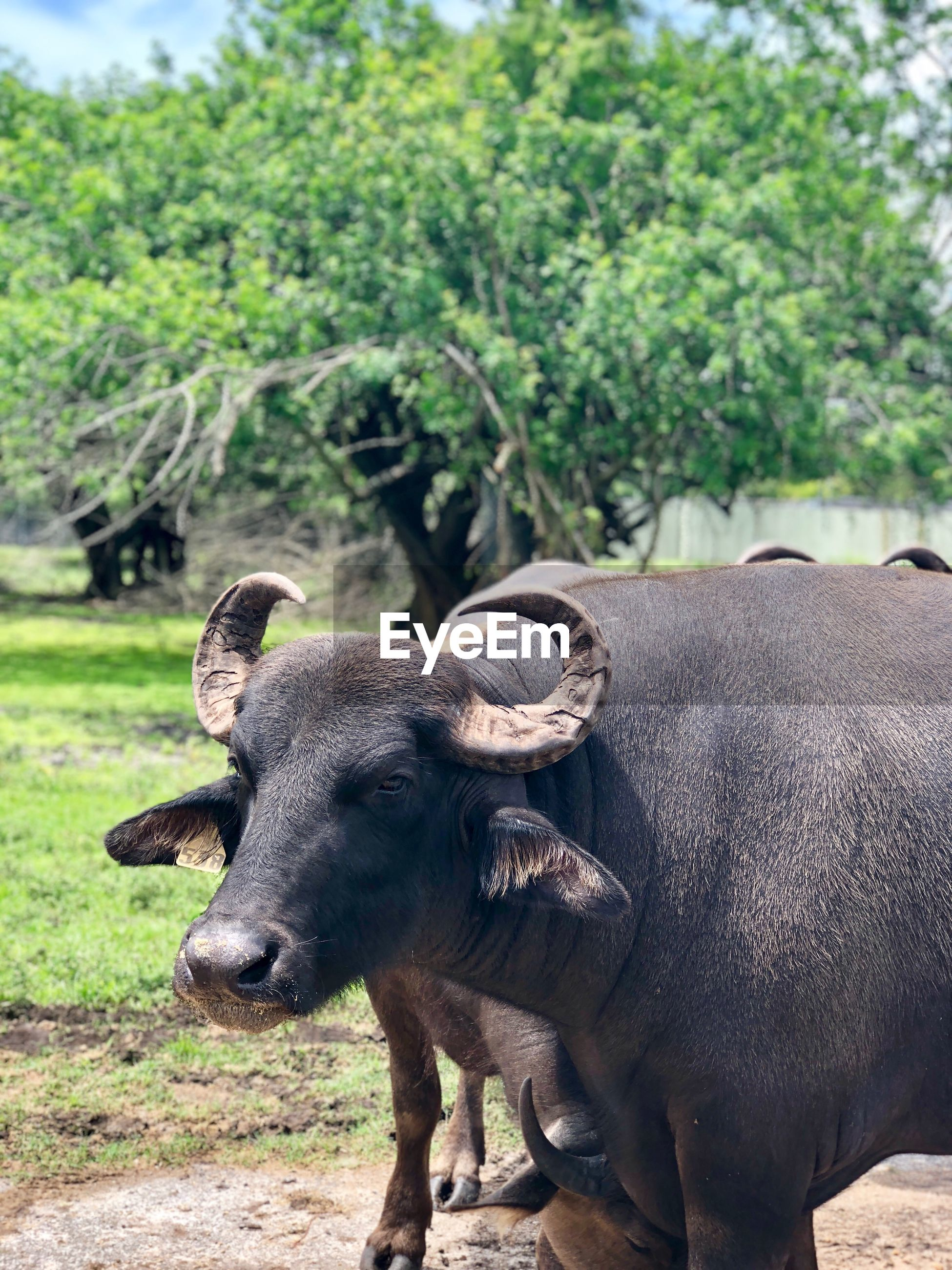 Buffalo standing outdoors