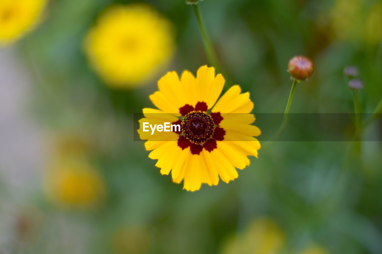 flowering plant, flower, fragility, freshness, growth, petal, vulnerability, beauty in nature, flower head, plant, yellow, close-up, inflorescence, focus on foreground, day, nature, no people, animal wildlife, insect, selective focus, pollen, pollination