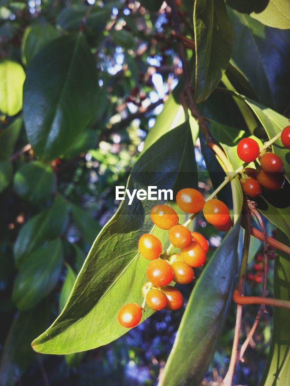 Close-up of orange berry fruits