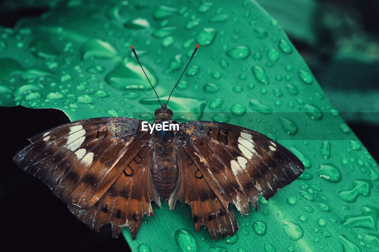 animal themes, invertebrate, animal wildlife, insect, animal, animals in the wild, one animal, close-up, animal wing, butterfly - insect, nature, beauty in nature, plant part, green color, no people, leaf, drop, animal antenna, water, butterfly, outdoors, turquoise colored