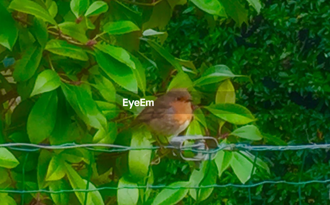 one animal, leaf, bird, animal themes, green color, growth, nature, plant, perching, outdoors, no people, sparrow, day, animal wildlife, animals in the wild, robin, tree, domestic animals, mammal, close-up
