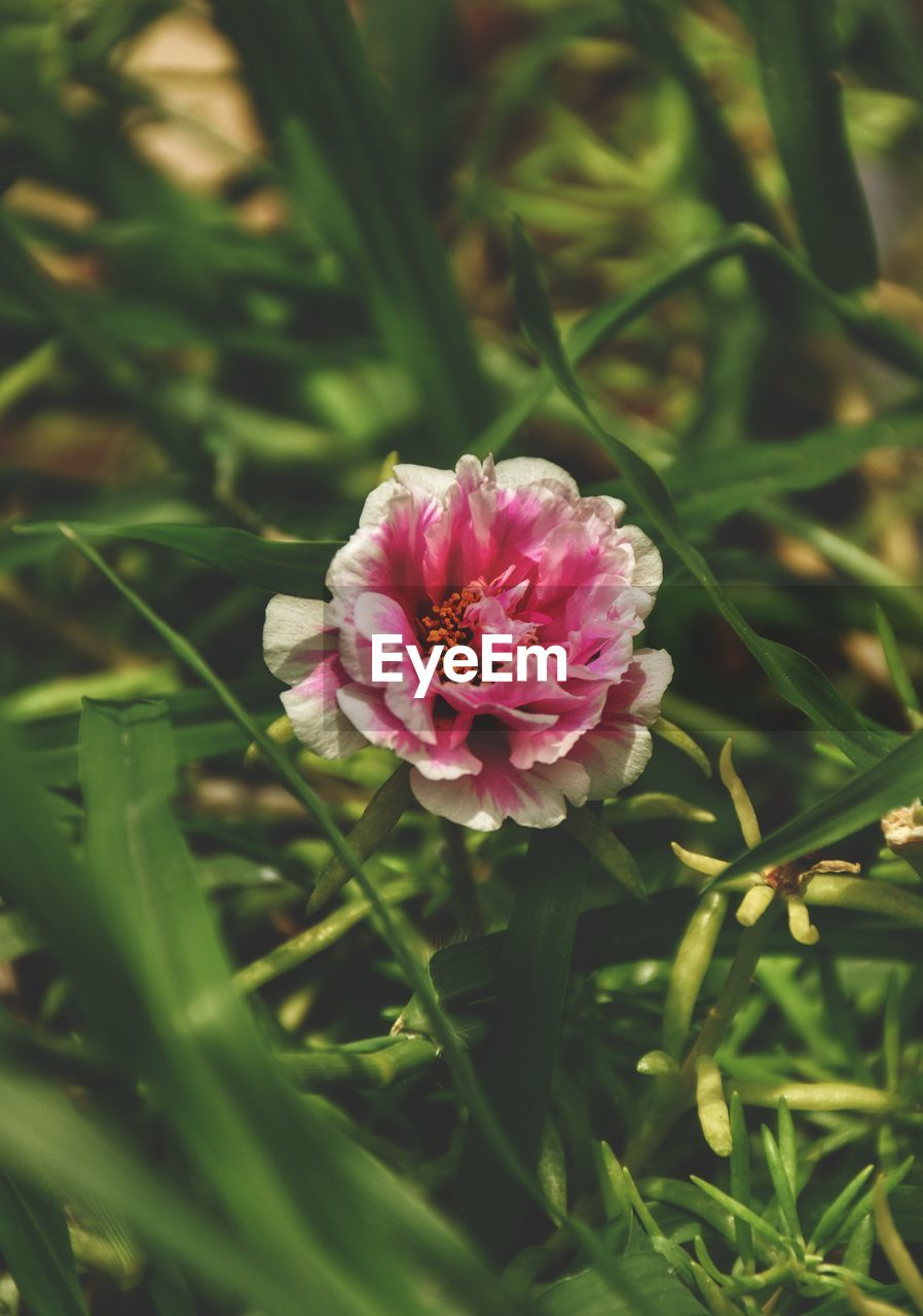 plant, flower, flowering plant, pink color, beauty in nature, freshness, growth, vulnerability, fragility, close-up, petal, flower head, nature, inflorescence, no people, day, selective focus, green color, outdoors, high angle view