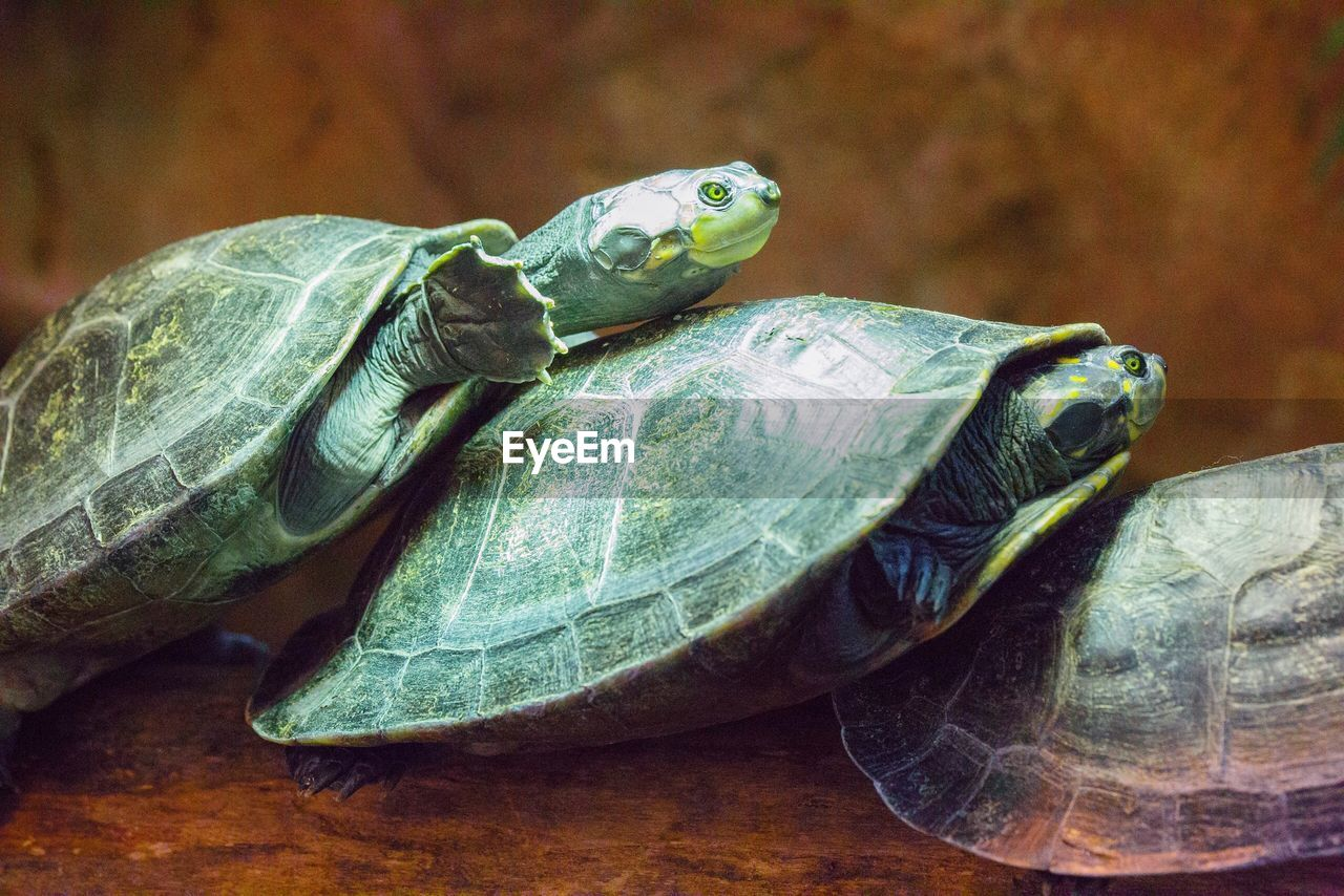 turtle, reptile, animal, animal wildlife, animal themes, animals in the wild, vertebrate, tortoise, shell, animal shell, one animal, close-up, focus on foreground, no people, amphibian, day, tortoise shell, nature, outdoors, animal head, marine