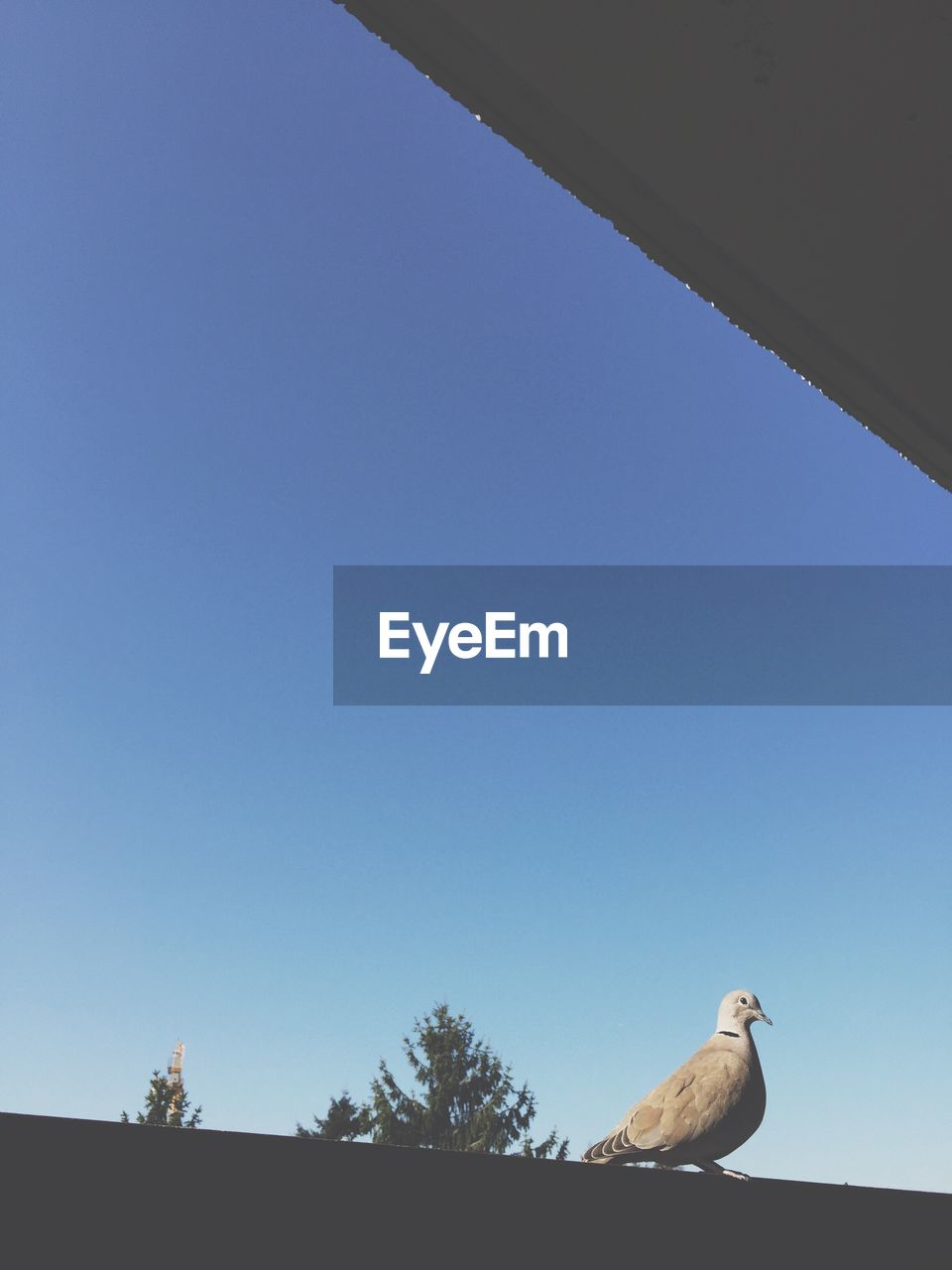 Side view of pigeon against clear sky