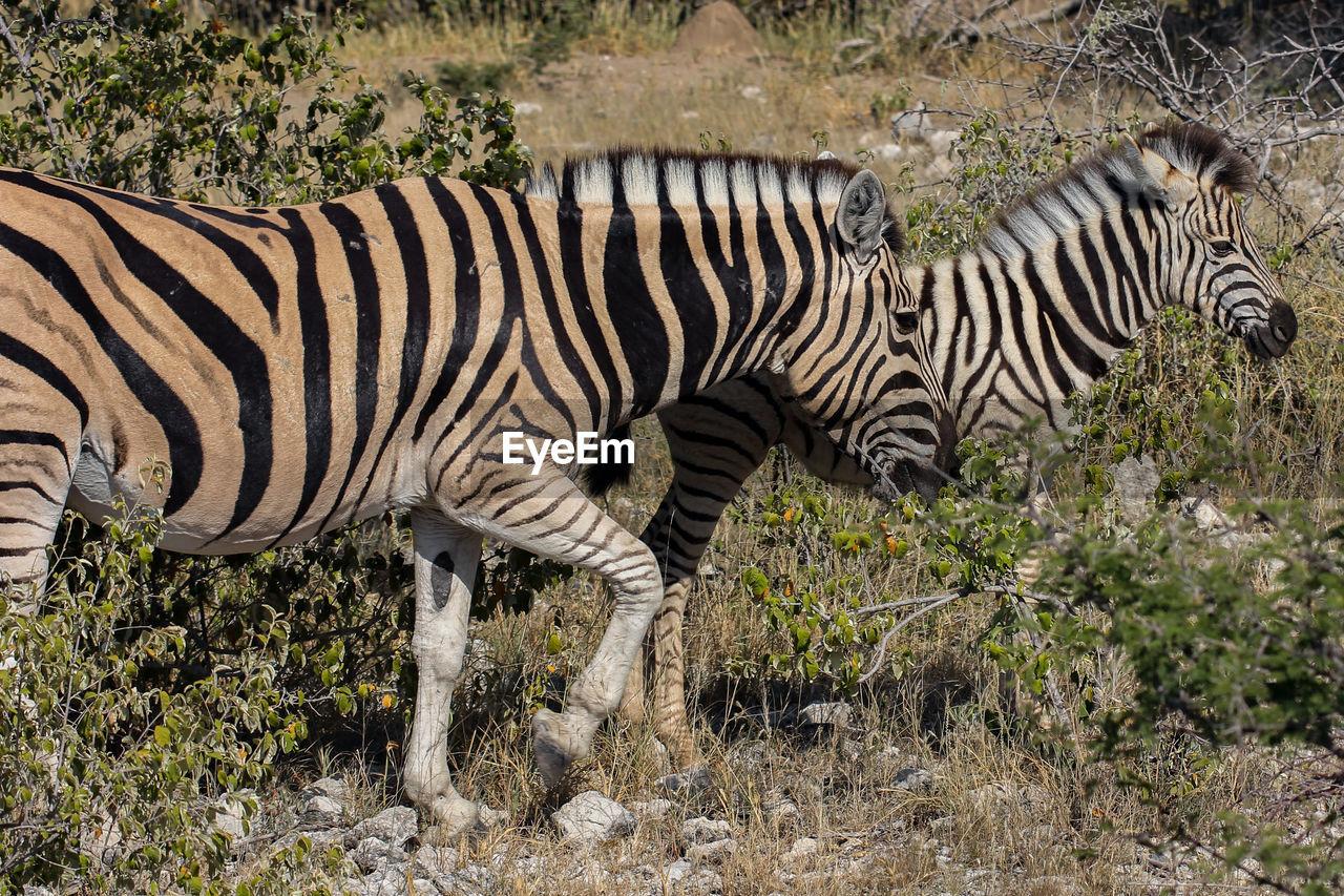 animal themes, animal, animal wildlife, animals in the wild, mammal, zebra, striped, no people, safari, nature, one animal, plant, day, vertebrate, domestic animals, side view, field, herbivorous, outdoors, semi-arid, herd