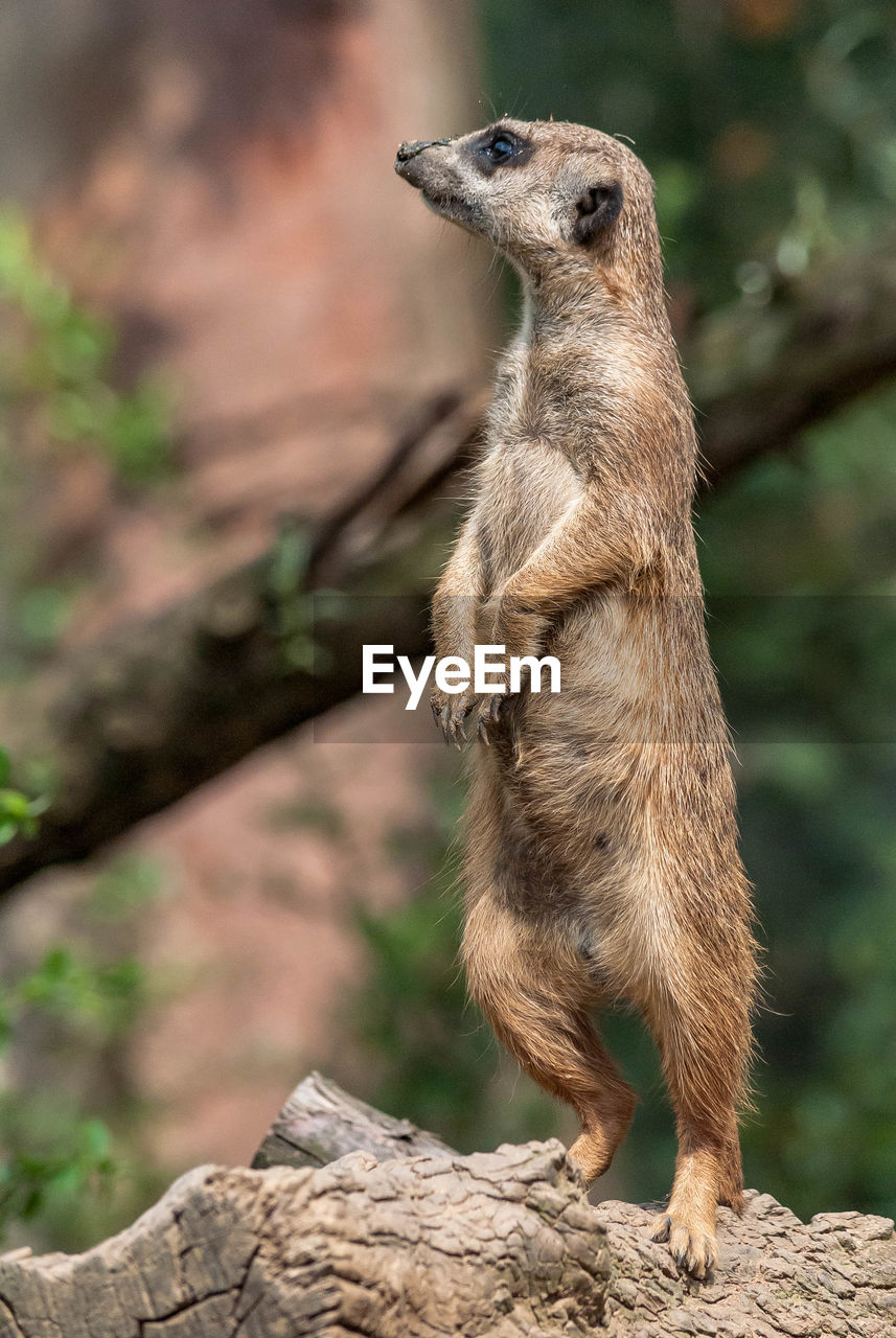 animal themes, animal, animals in the wild, one animal, animal wildlife, meerkat, mammal, focus on foreground, vertebrate, no people, day, standing, solid, nature, rock - object, rock, tree, full length, looking, outdoors