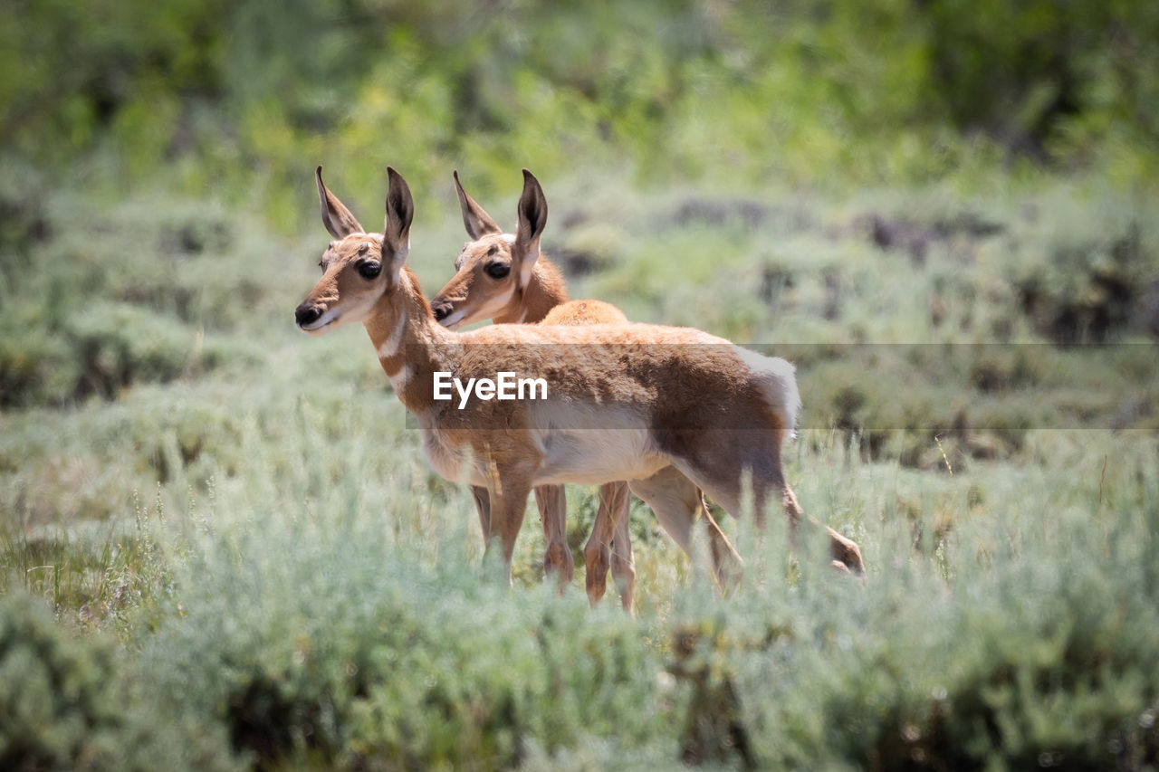 Pronghorn on plants in forest