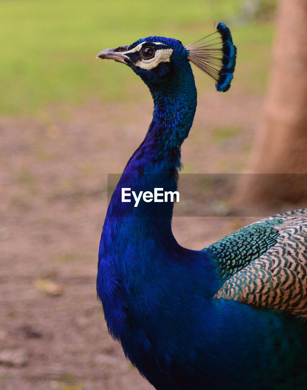 bird, animal themes, peacock, animal, vertebrate, animal wildlife, one animal, animals in the wild, focus on foreground, close-up, no people, day, nature, beauty in nature, field, outdoors, blue, animal's crest, land, animal body part, animal head, animal neck, profile view