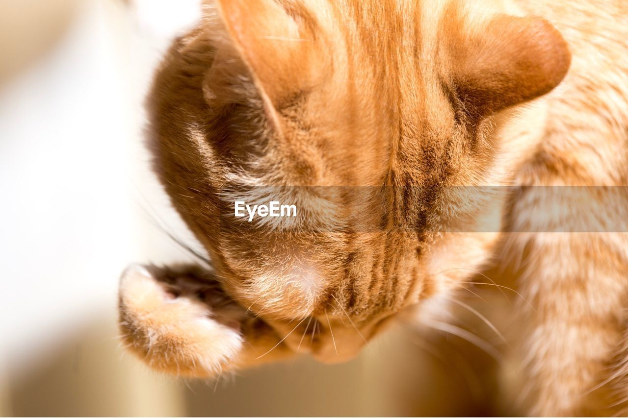 mammal, one animal, animal themes, domestic, animal, pets, domestic animals, vertebrate, close-up, animal body part, domestic cat, cat, indoors, no people, canine, dog, feline, brown, animal head, day, whisker, animal nose, snout, animal mouth