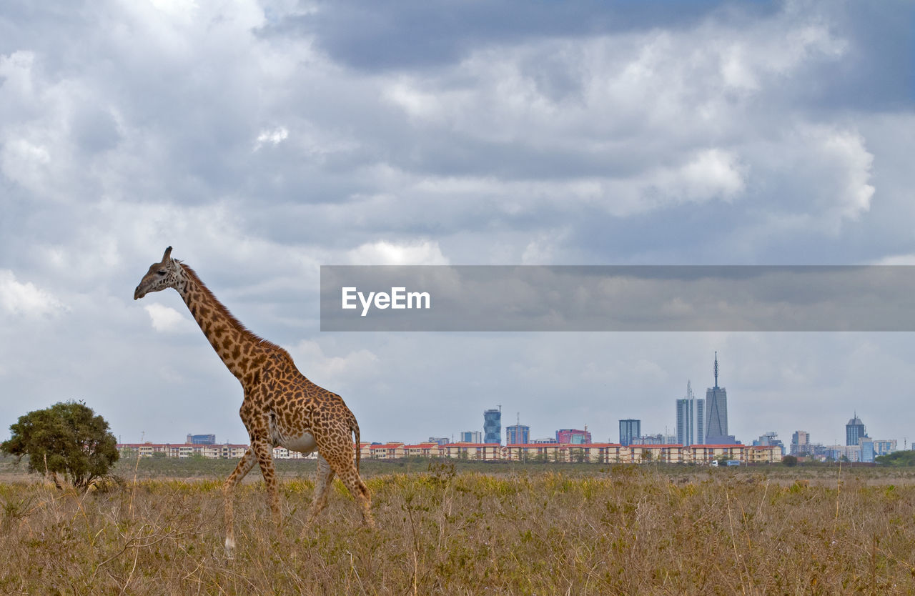 Giraffe On Field Against Cloudy Sky