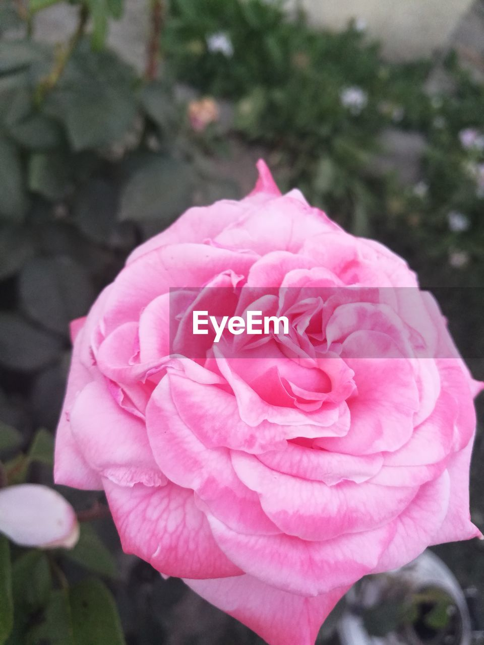 flower, petal, pink color, nature, rose - flower, flower head, fragility, beauty in nature, outdoors, growth, plant, close-up, day, focus on foreground, no people, freshness, blooming