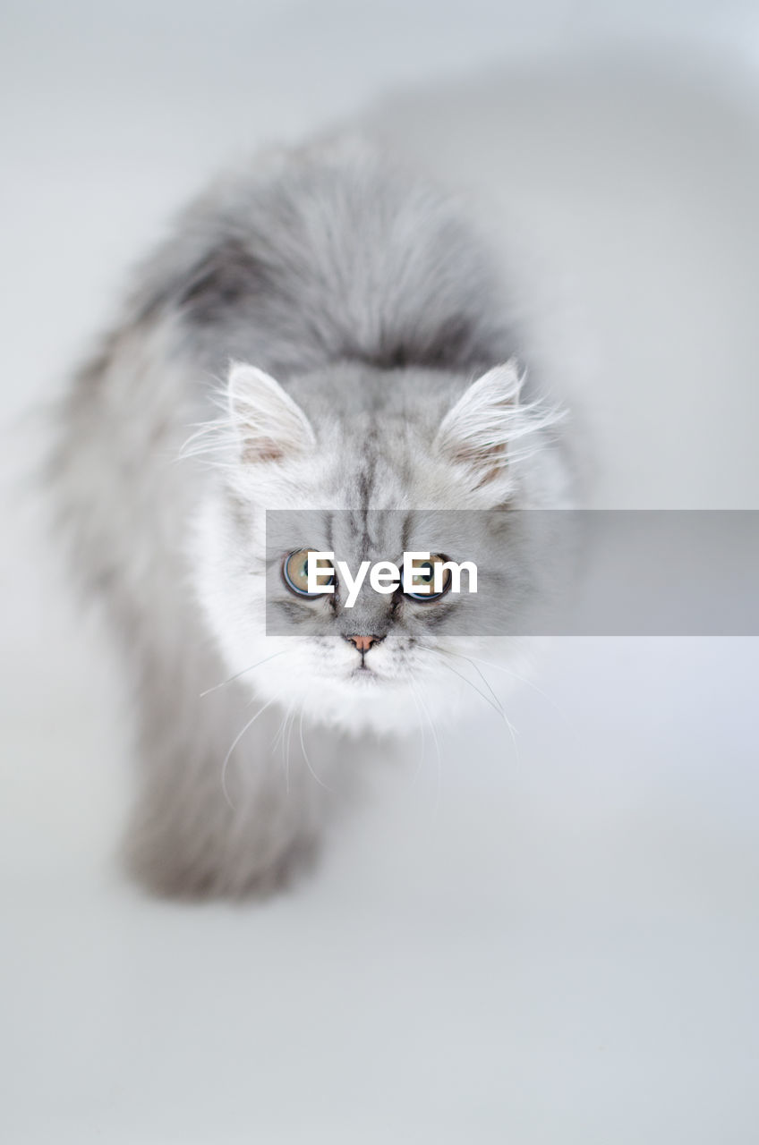 CLOSE-UP OF CAT AGAINST WHITE BACKGROUND