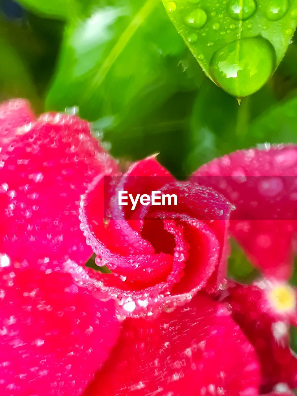 plant, close-up, flower, red, freshness, flowering plant, vulnerability, beauty in nature, fragility, pink color, growth, inflorescence, flower head, no people, nature, petal, day, wet, water, selective focus, dew