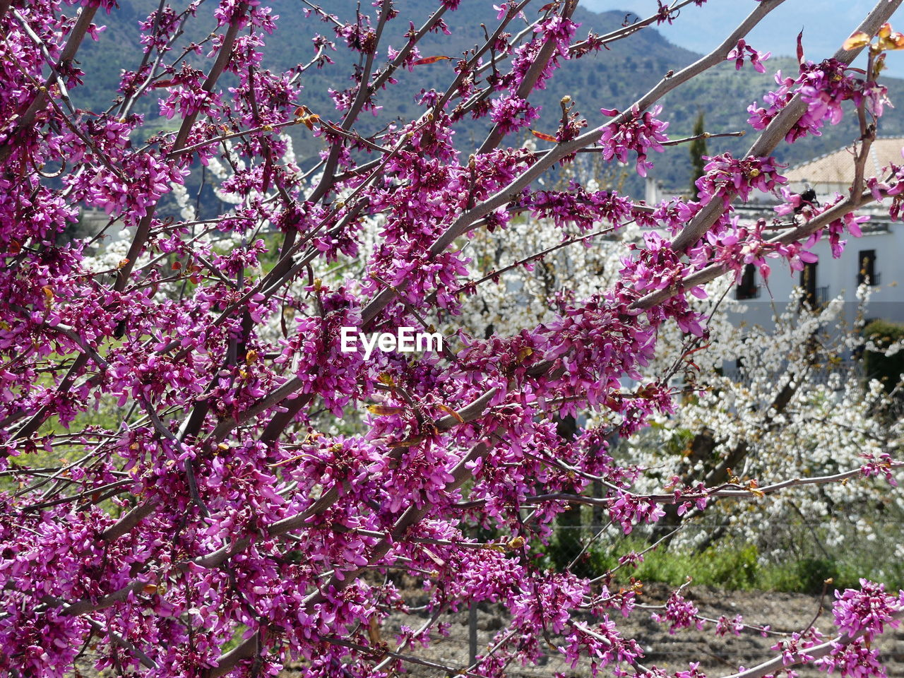 flower, tree, blossom, cherry blossom, beauty in nature, springtime, fragility, branch, pink color, growth, cherry tree, freshness, nature, botany, no people, low angle view, day, twig, plum blossom, outdoors, blooming, flower head, close-up, sky