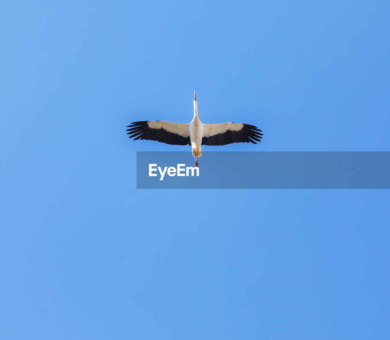 flying, animal wildlife, animals in the wild, bird, vertebrate, animal themes, animal, sky, spread wings, low angle view, one animal, copy space, blue, clear sky, mid-air, no people, nature, day, motion, outdoors, seagull, stork
