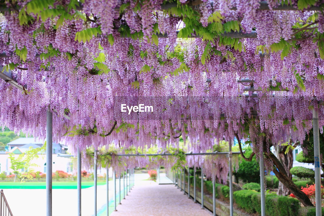 plant, flowering plant, flower, growth, beauty in nature, purple, nature, freshness, fragility, no people, tree, vine, vulnerability, day, wisteria, blossom, outdoors, footpath, park, park - man made space, lavender