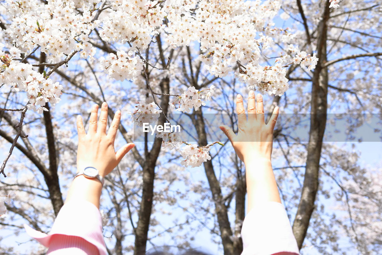 plant, tree, flower, flowering plant, beauty in nature, low angle view, springtime, growth, branch, blossom, nature, day, fragility, cherry blossom, freshness, human hand, vulnerability, human body part, real people, hand, outdoors, cherry tree, finger