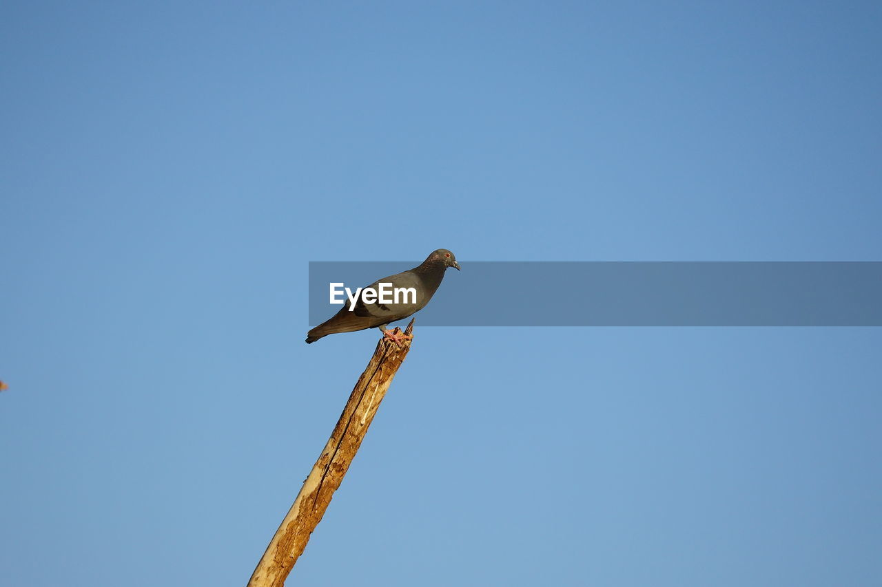 A pigeon perching on neem stem with blue sky background