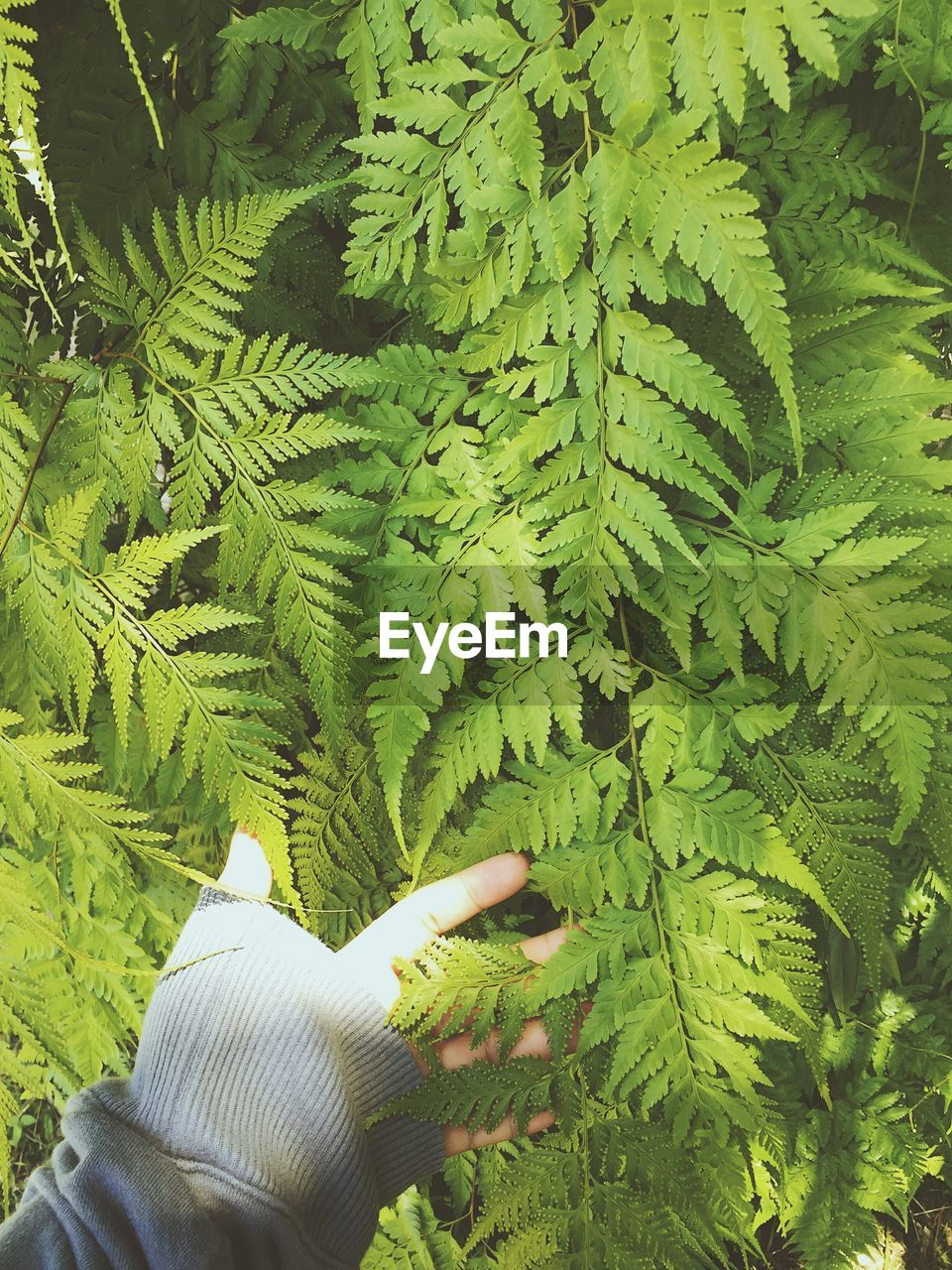 green color, plant, leaf, human hand, plant part, growth, hand, one person, real people, nature, holding, day, human body part, unrecognizable person, outdoors, fern, tree, close-up, beauty in nature, finger, leaves, human limb