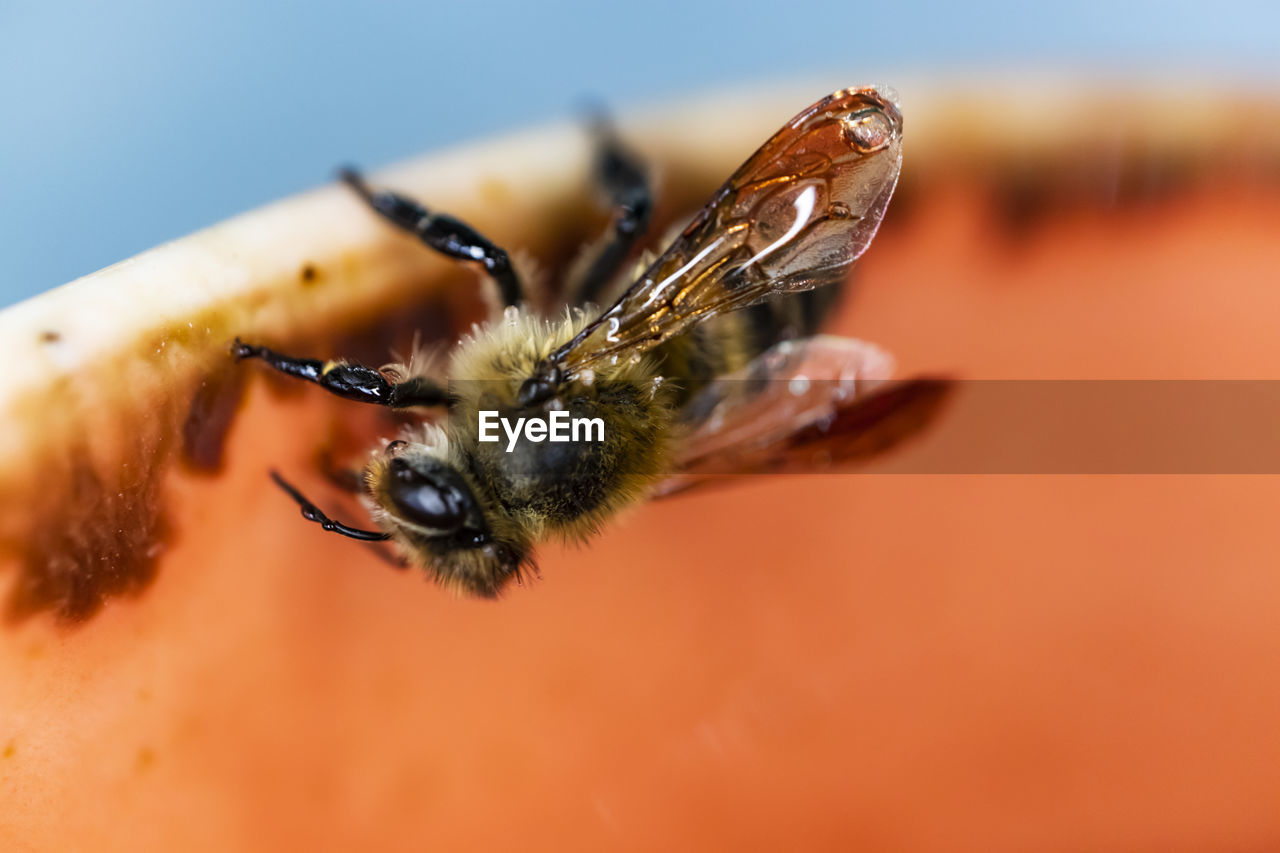 invertebrate, insect, animals in the wild, animal wildlife, animal themes, animal, close-up, one animal, bee, selective focus, no people, nature, day, animal wing, focus on foreground, outdoors, beauty in nature, freshness, orange color, fragility, pollination