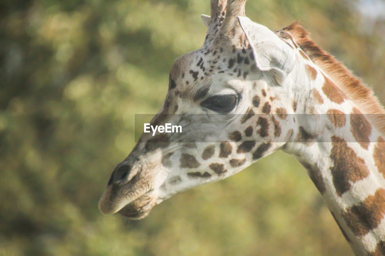 one animal, animal themes, animal wildlife, animal, animals in the wild, vertebrate, animal markings, mammal, animal body part, close-up, focus on foreground, giraffe, no people, day, nature, animal head, outdoors, herbivorous, zoology, animal neck, animal eye