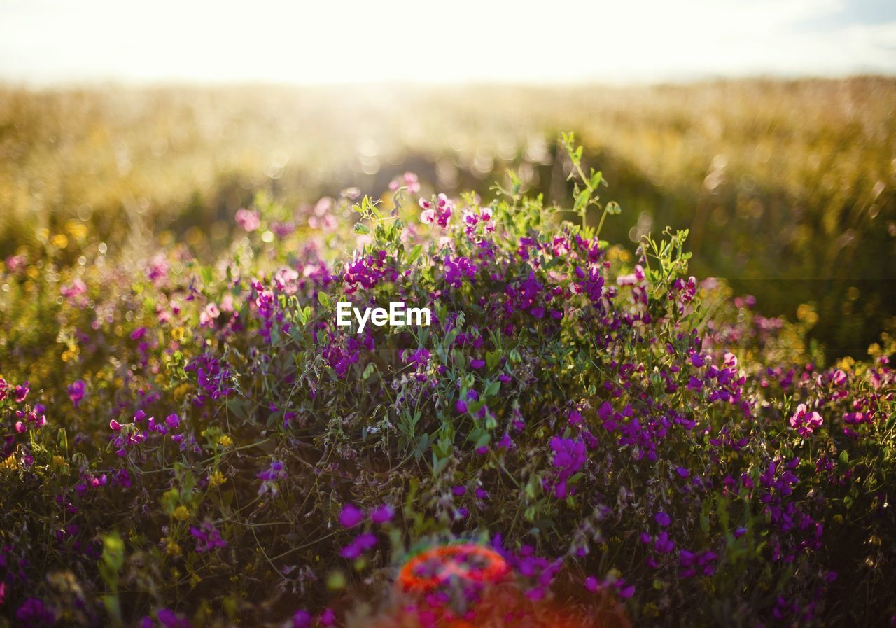flower, field, nature, growth, plant, beauty in nature, purple, landscape, tranquility, no people, lavender, outdoors, grass, tranquil scene, scenics, meadow, day, fragility, freshness, blooming, flower head, close-up, sky, crocus