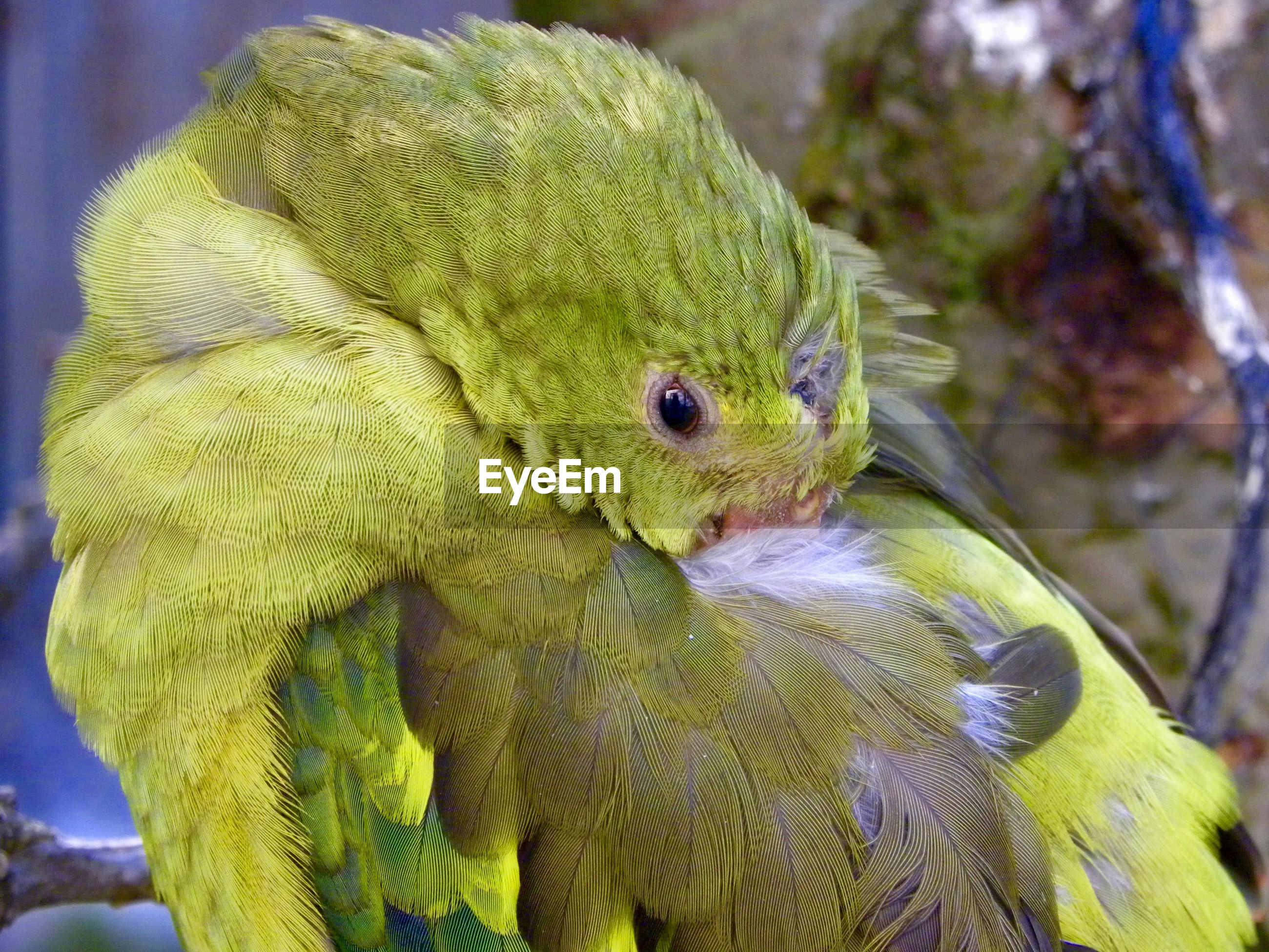 Green parrot cleanses his feathered